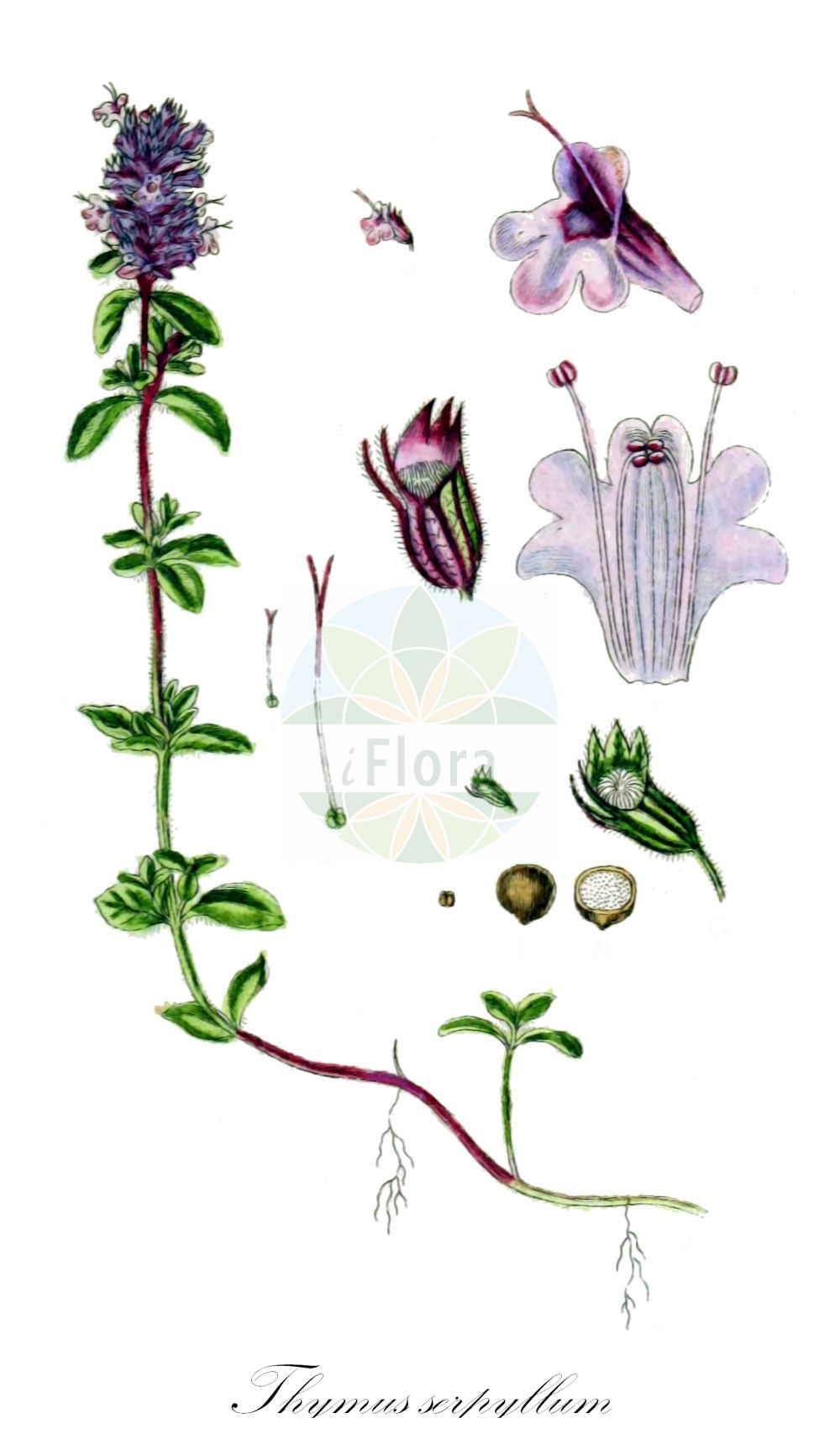 Historische Abbildung von Thymus serpyllum (Gewoehnlicher Sand-Thymian - Breckland Thyme). Das Bild zeigt Blatt, Bluete, Frucht und Same. ---- Historical Drawing of Thymus serpyllum (Gewoehnlicher Sand-Thymian - Breckland Thyme).The image is showing leaf, flower, fruit and seed.(Thymus serpyllum,Gewoehnlicher Sand-Thymian,Breckland Thyme,Origanum serpyllum,Serpyllum vulgare,,Innsbrucker Quendel,Innsbrucker Thymian,Sand-Quendel,Sand-Thymian,Tiroler Quendel,Breckland Garden,Creeping Thyme,Mother-of-Thyme,Thymus,Thymian,Thyme,Lamiaceae,Lippenbluetengewaechse;Lippenbluetler,Nettle family,Blatt,Bluete,Frucht,Same,leaf,flower,fruit,seed,Sturm (1796f))