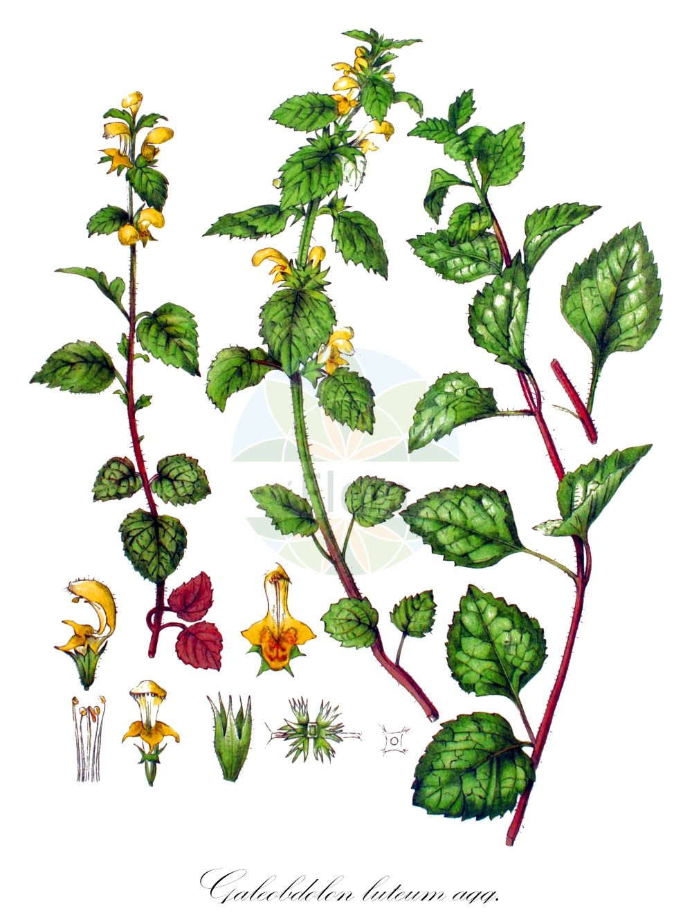 Historische Abbildung von Galeobdolon luteum agg. (Echte Goldnessel - Yellow Archangel). Das Bild zeigt Blatt, Bluete, Frucht und Same. ---- Historical Drawing of Galeobdolon luteum agg. (Echte Goldnessel - Yellow Archangel).The image is showing leaf, flower, fruit and seed.(Galeobdolon luteum agg.,Echte Goldnessel,Yellow Archangel,Yellow Dead-nettle,Lamium,Taubnessel,Deadnettle,Lamiaceae,Lippenbluetengewaechse;Lippenbluetler,Nettle family,Blatt,Bluete,Frucht,Same,leaf,flower,fruit,seed,Kops (1800-1934))