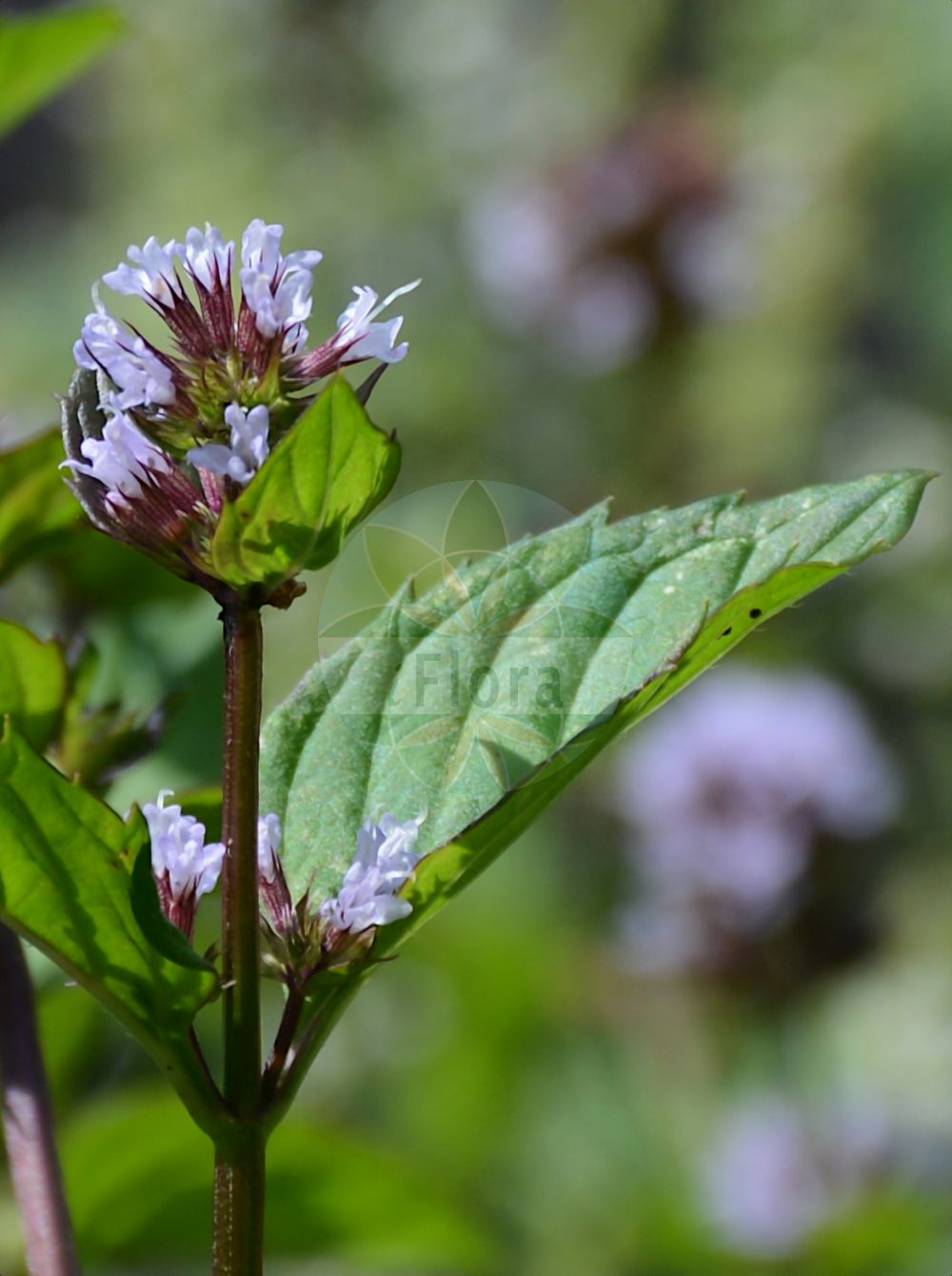 Foto von Mentha piperita (Pfeffer-Minze - Chocolate Mint). Das Bild zeigt Blatt und Bluete. Das Foto wurde in Wuerzburg, Bayern, Deutschland aufgenommen. ---- Photo of Mentha piperita (Pfeffer-Minze - Chocolate Mint).The image is showing leaf and flower.The picture was taken in Wuerzburg, Bayern, Germany.(Mentha piperita,Pfeffer-Minze,Chocolate Mint,Mentha,Minze,Mint,Lamiaceae,Lippenbluetengewaechse;Lippenbluetler,Nettle family,Blatt,Bluete,leaf,flower)
