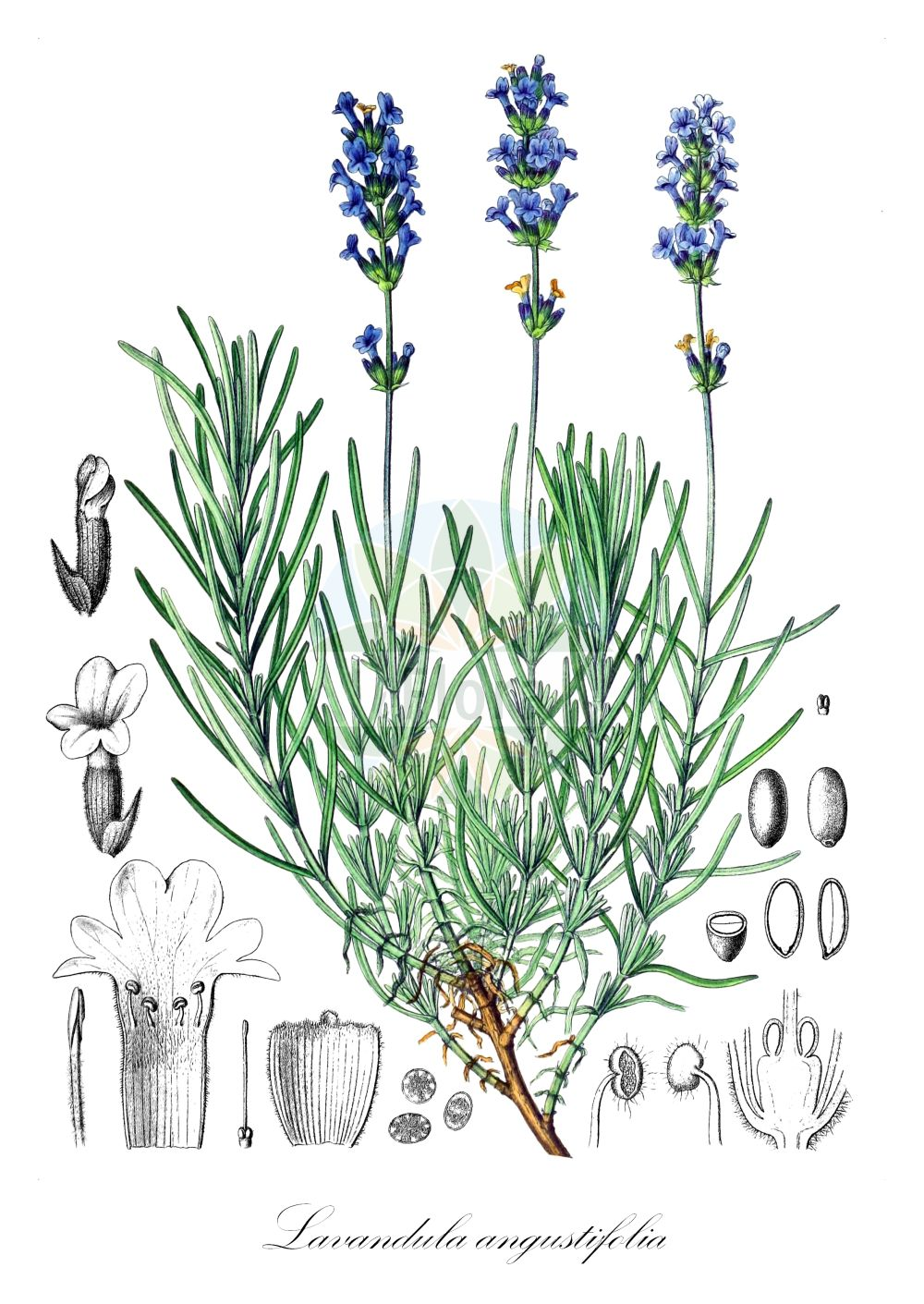 Historische Abbildung von Lavandula angustifolia (Echter Lavendel - Garden Lavender). ---- Historical Drawing of Lavandula angustifolia (Echter Lavendel - Garden Lavender).(Lavandula angustifolia,Echter Lavendel,Garden Lavender,Schmalblatt-Lavendel,Schmalblaettriger Lavendel,Common Lavender,English Lavender,Lavender,French Lavender,Lavandula,Lavendel,Lavender,Lamiaceae,Lippenbluetengewaechse;Lippenbluetler,Nettle family,Berg & Schmidt (1894-1896))