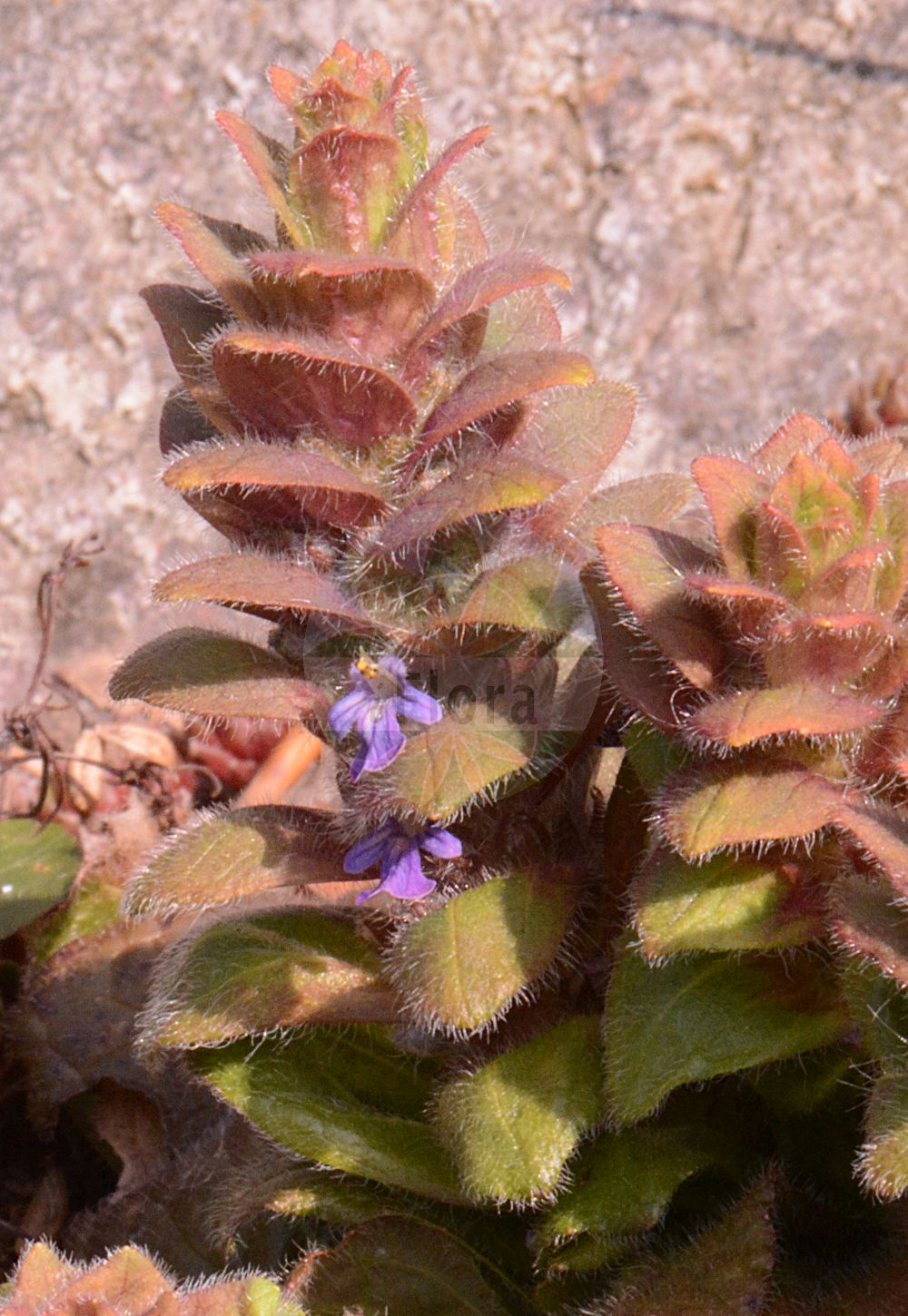 Foto von Ajuga pyramidalis (Pyramiden-Guensel - Pyramidal Bugle). Das Foto wurde in Frankfurt, Hessen, Deutschland aufgenommen. ---- Photo of Ajuga pyramidalis (Pyramiden-Guensel - Pyramidal Bugle).The picture was taken in Frankfurt, Hesse, Germany.(Ajuga pyramidalis,Pyramiden-Guensel,Pyramidal Bugle,Bugula pyramidalis,Bulga pyramidalis,Teucrium pyramidale,Limestone Bugle,Ajuga,Guensel,Bugle,Lamiaceae,Lippenbluetengewaechse;Lippenbluetler,Nettle family)