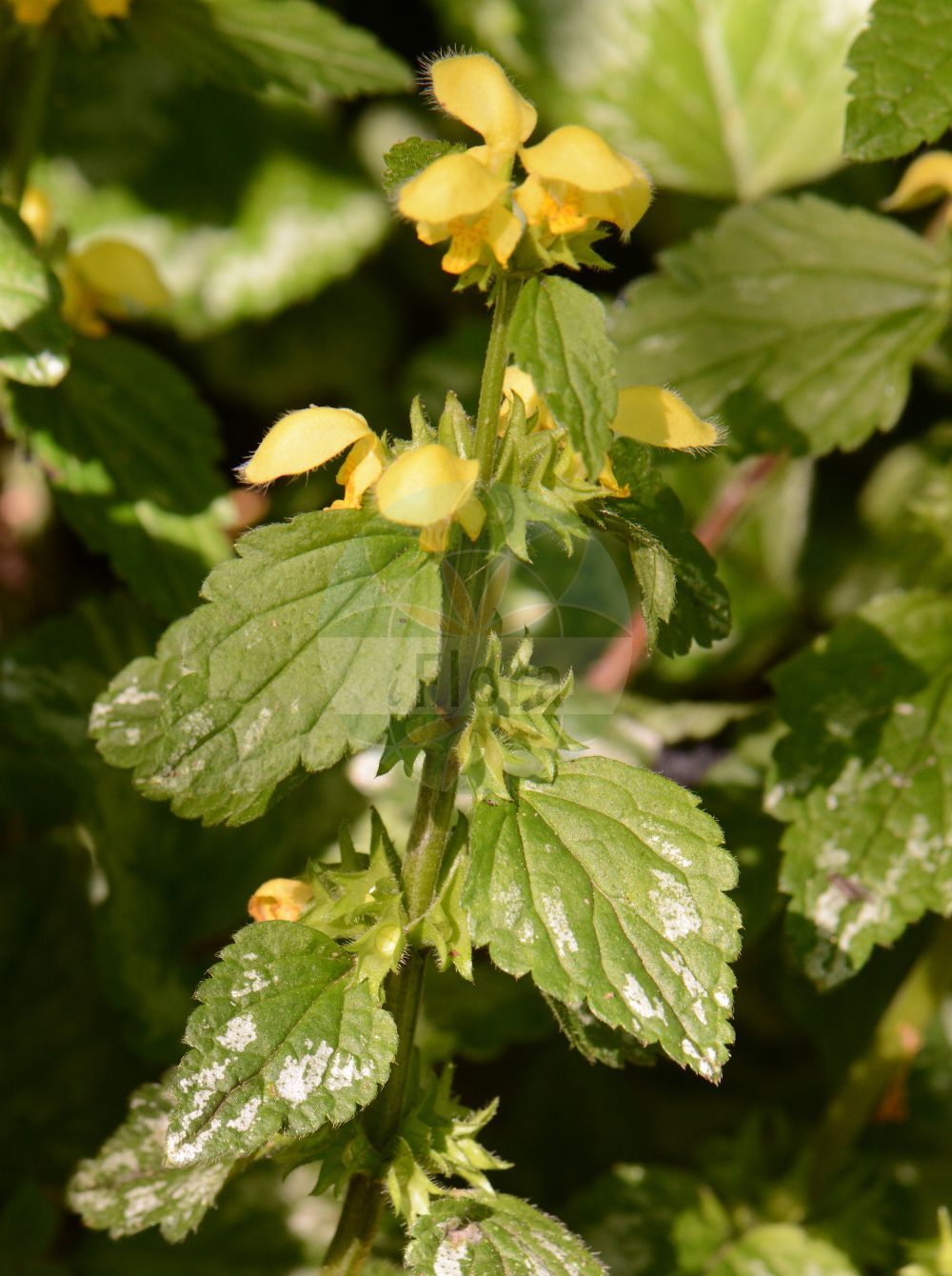 Foto von Lamium galeobdolon subsp. argentatum (Silber-Goldnessel - Silverleaved Archangel). Das Foto wurde in Koeln, Nordrhein-Westfalen, Deutschland aufgenommen. ---- Photo of Lamium galeobdolon subsp. argentatum (Silber-Goldnessel - Silverleaved Archangel).The picture was taken in Cologne, North Rhine-Westphalia, Germany.(Lamium galeobdolon subsp. argentatum,Silber-Goldnessel,Silverleaved Archangel,Silberblaettrige Goldnessel,Lamium,Taubnessel,Deadnettle,Lamiaceae,Lippenbluetengewaechse;Lippenbluetler,Nettle family)