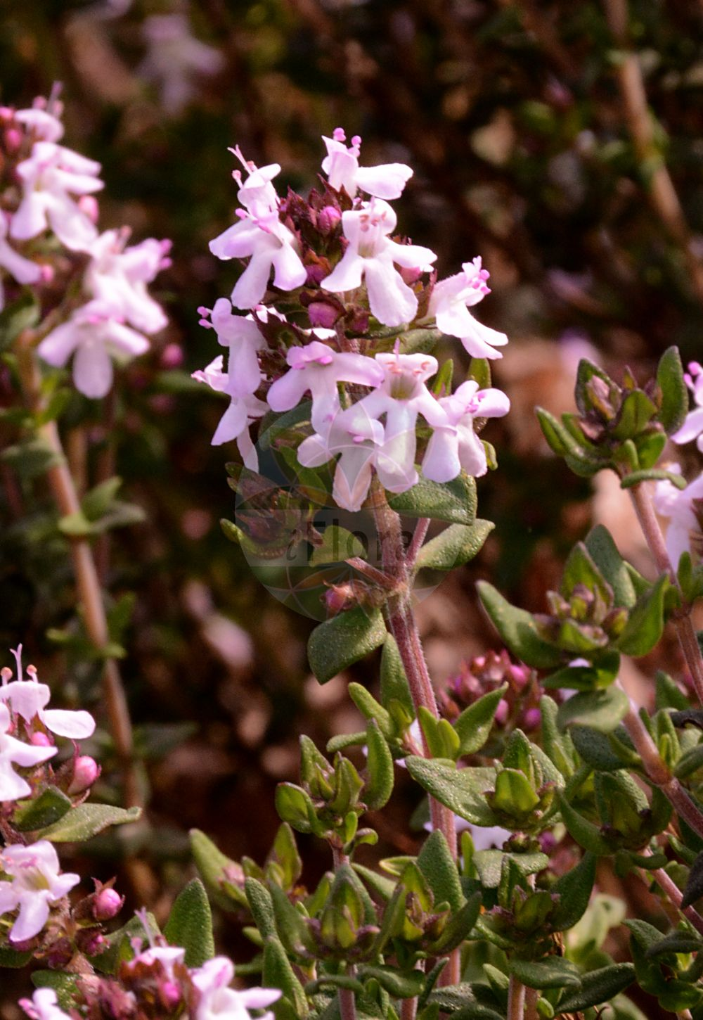 Foto von Thymus vulgaris (Echter Thymian - Garden Thyme). Das Foto wurde in Bremen, Deutschland aufgenommen. ---- Photo of Thymus vulgaris (Echter Thymian - Garden Thyme).The picture was taken in Bremen, Germany.(Thymus vulgaris,Echter Thymian,Garden Thyme,Origanum thymus,,Gewuerz-Thymian,Thyme,Thymus,Thymian,Thyme,Lamiaceae,Lippenbluetengewaechse;Lippenbluetler,Nettle family)