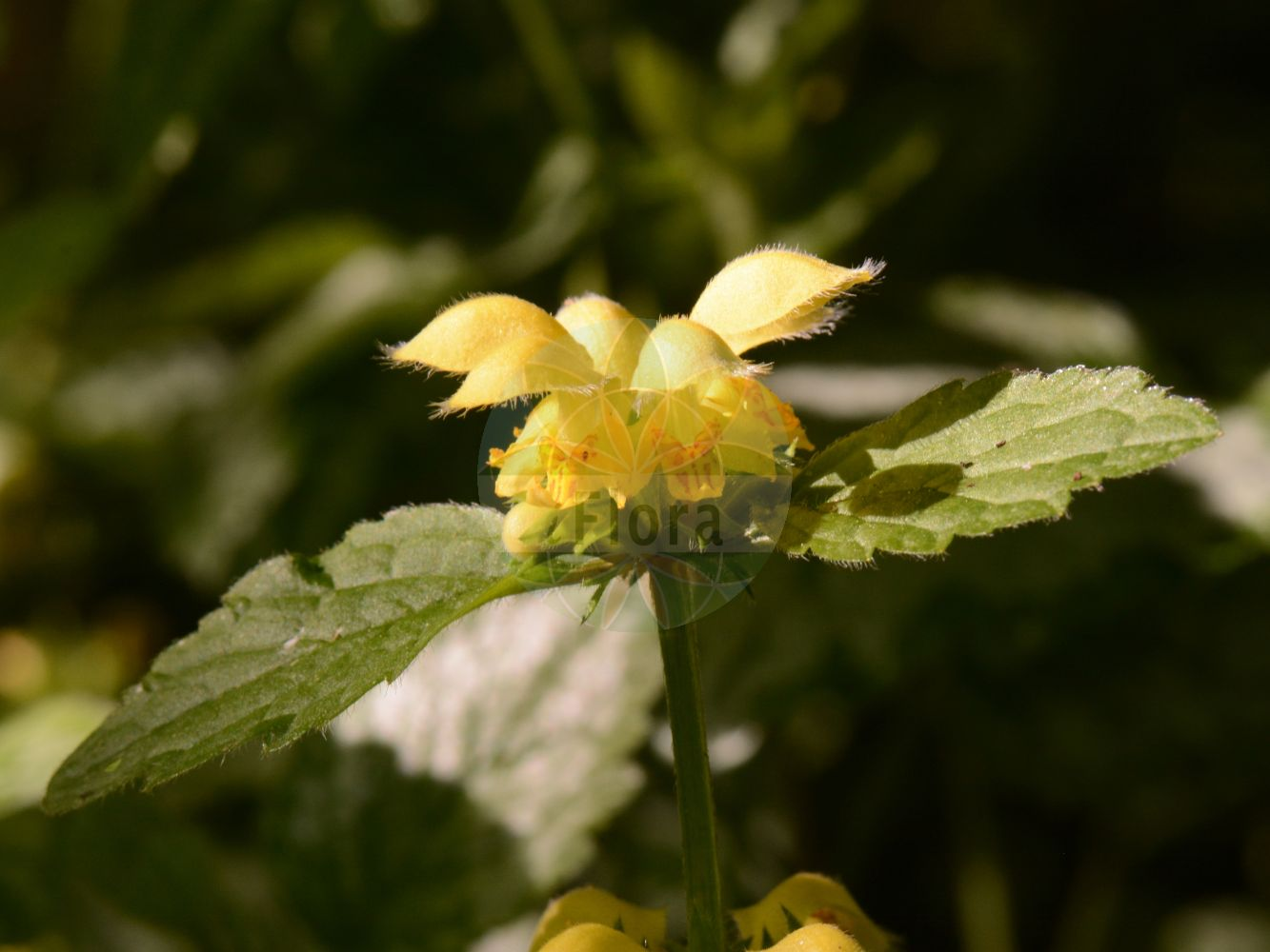 Foto von Lamium galeobdolon subsp. galeobdolon (Echte Goldnessel - Yellow Archangel). ---- Photo of Lamium galeobdolon subsp. galeobdolon (Echte Goldnessel - Yellow Archangel).(Lamium galeobdolon subsp. galeobdolon,Echte Goldnessel,Yellow Archangel,Pollichia vulgaris,Gewoehnliche Goldnessel,Silber-Goldnessel,Aluminium Plant,Artillery Plant,Lamium,Taubnessel,Deadnettle,Lamiaceae,Lippenbluetengewaechse;Lippenbluetler,Nettle family)