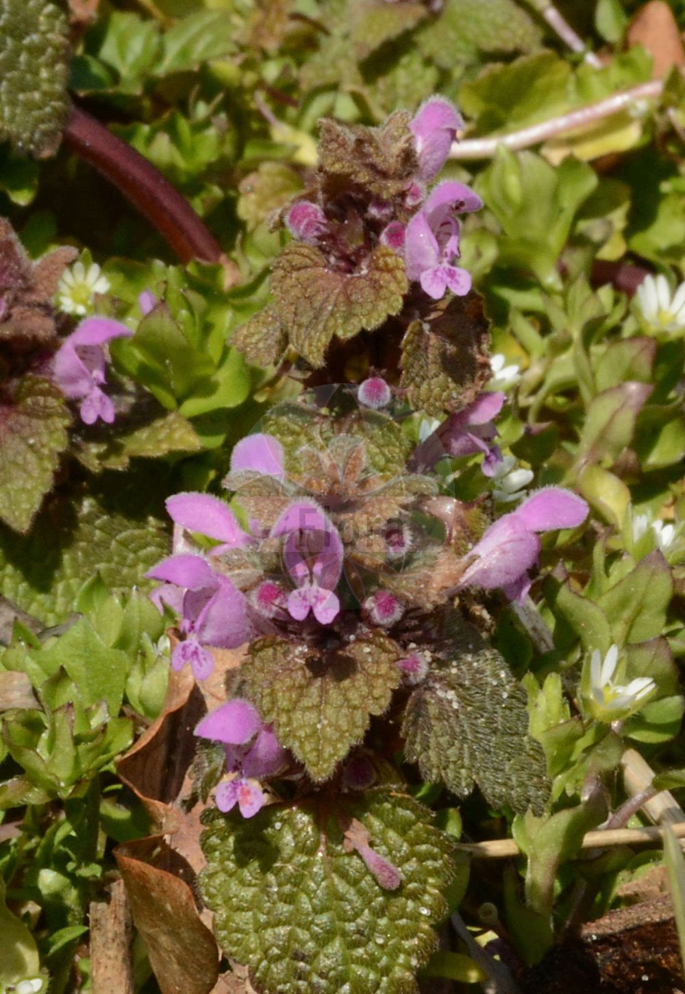 Foto von Lamium purpureum (Purpurrote Taubnessel - Red Dead-nettle). Das Foto wurde in Rendsburg-Eckernfoerde, Schleswig-Holstein, Deutschland, Jungmoraenenlandschaft Schleswig-Holstein Ost / Nordwest-Mecklenburg aufgenommen. ---- Photo of Lamium purpureum (Purpurrote Taubnessel - Red Dead-nettle).The picture was taken in Rendsburg-Eckernfoerde, Schleswig-Holstein, Germany, Jungmoraenenlandschaft Schleswig-Holstein Ost / Nordwest-Mecklenburg.(Lamium purpureum,Purpurrote Taubnessel,Red Dead-nettle,Lamiopsis purpurea,,Eingeschnittene Taubnessel,i.w.S.,Purple Archangel,Purple Deadnettle,Red Henbit,Lamium,Taubnessel,Deadnettle,Lamiaceae,Lippenbluetengewaechse;Lippenbluetler,Nettle family)