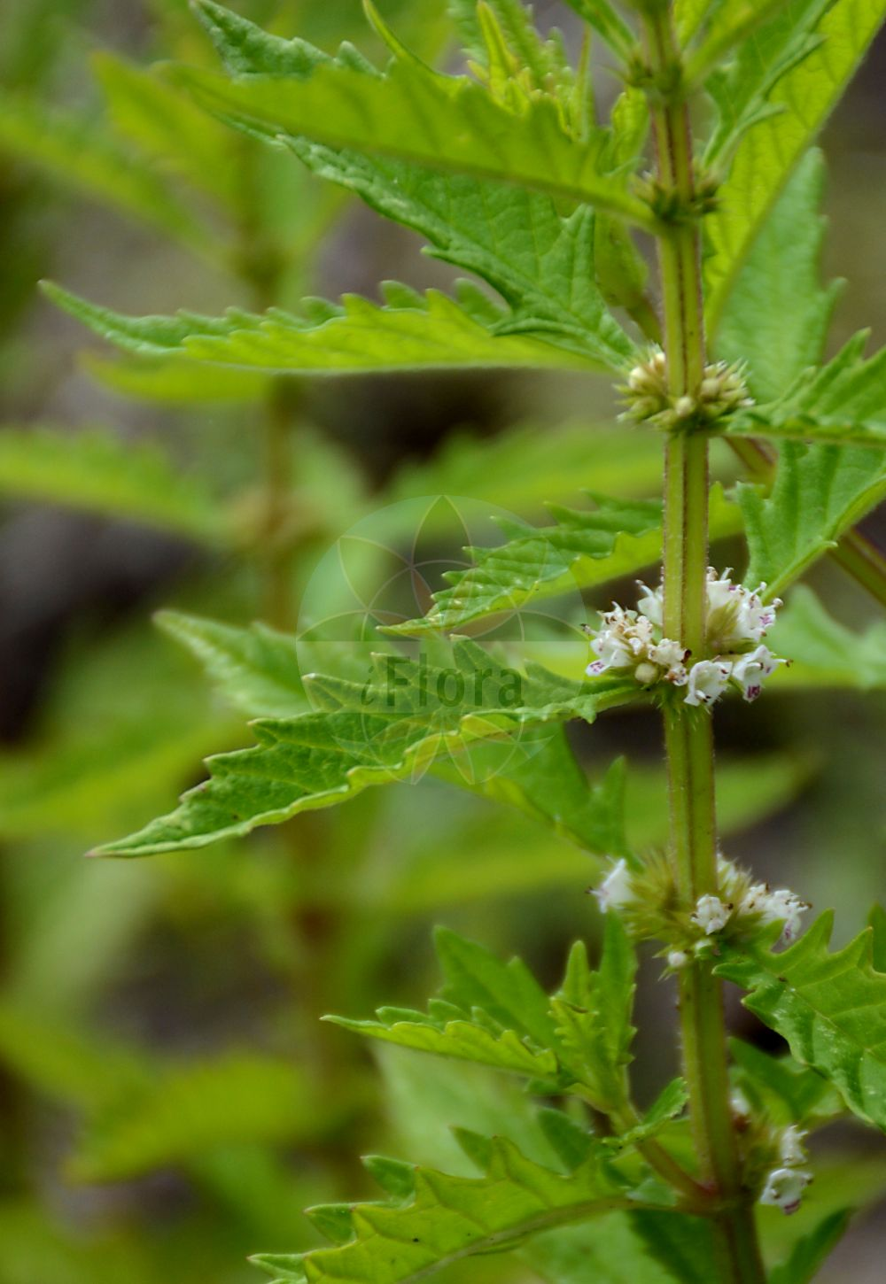Foto von Lycopus europaeus (Gewoehnlicher Ufer-Wolfstrapp - Gipsywort). Das Foto wurde in Berlin, Deutschland aufgenommen. ---- Photo of Lycopus europaeus (Gewoehnlicher Ufer-Wolfstrapp - Gipsywort).The picture was taken in Berlin, Germany.(Lycopus europaeus,Gewoehnlicher Ufer-Wolfstrapp,Gipsywort,Lycopus alboroseus,Lycopus albus,Lycopus aquaticus,Lycopus decrescens,Lycopus intermedius,Lycopus laciniatus,Lycopus menthifolius,Lycopus mollis,Lycopus niger,Lycopus palustris,Lycopus riparius,Lycopus solanifolius,Lycopus souliei,Lycopus vulgaris,Ganz Gewoehnlicher Wolfsfuss,Gewoehnlicher Wolfsfuss,Ufer-Wolfstrapp,Gypsywort,European Bugleweed,Waterhorehound,Lycopus,Wolfstrapp,Waterhorehound,Lamiaceae,Lippenbluetengewaechse;Lippenbluetler,Nettle family)