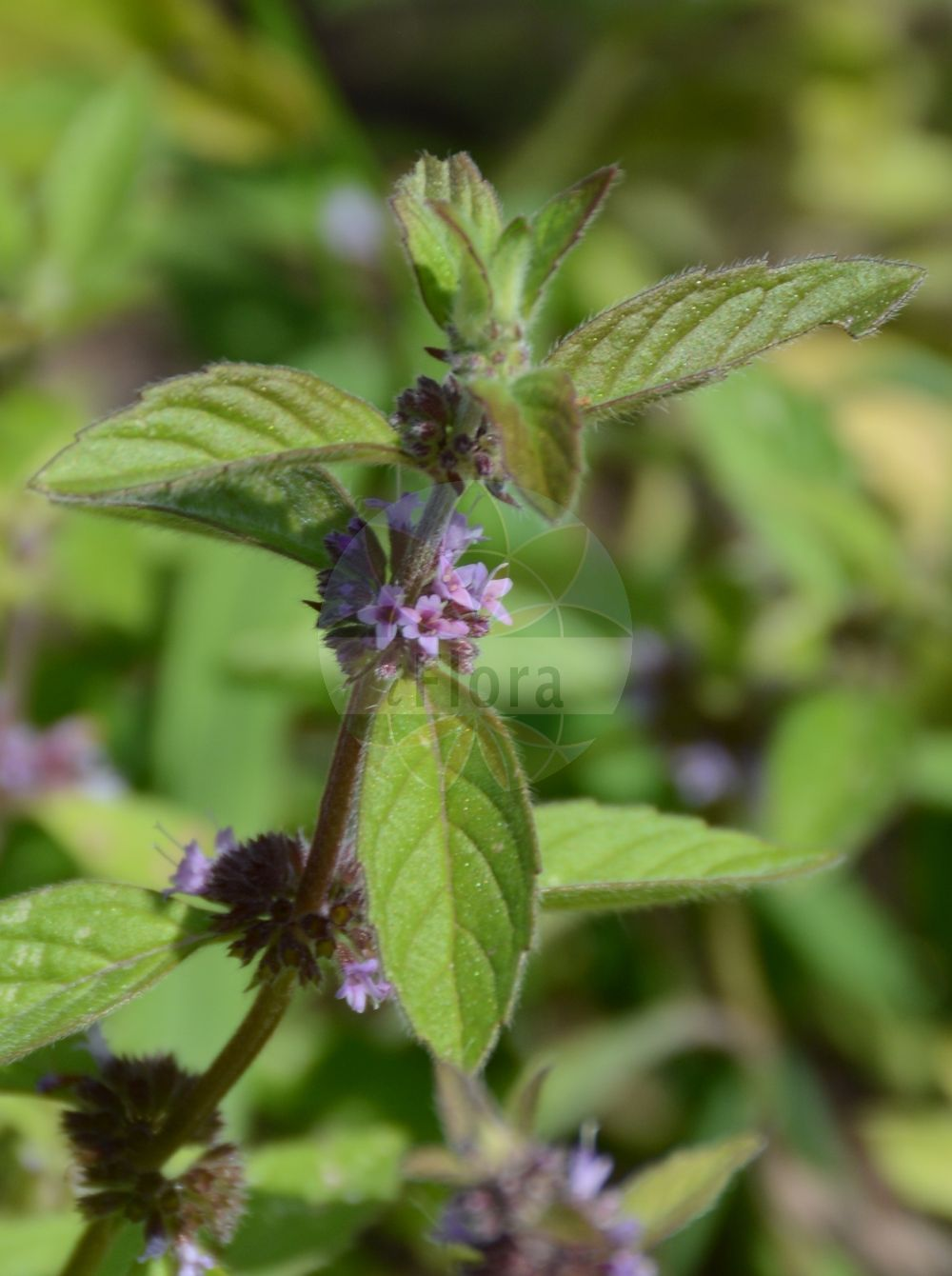 Foto von Mentha arvensis (Acker-Minze - Corn Mint). Das Foto wurde in Wuerzburg, Bayern, Deutschland aufgenommen. ---- Photo of Mentha arvensis (Acker-Minze - Corn Mint).The picture was taken in Wuerzburg, Bayern, Germany.(Mentha arvensis,Acker-Minze,Corn Mint,Calamintha arvensis,,Quirl-Minze,Wild Mint,Field Mint,Mentha,Minze,Mint,Lamiaceae,Lippenbluetengewaechse;Lippenbluetler,Nettle family)