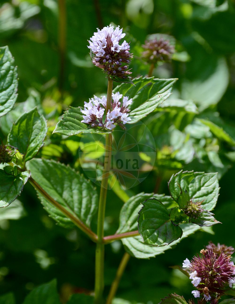 Foto von Mentha piperita (Pfeffer-Minze - Chocolate Mint). Das Foto wurde in Wuerzburg, Bayern, Deutschland aufgenommen. ---- Photo of Mentha piperita (Pfeffer-Minze - Chocolate Mint).The picture was taken in Wuerzburg, Bayern, Germany.(Mentha piperita,Pfeffer-Minze,Chocolate Mint,Mentha,Minze,Mint,Lamiaceae,Lippenbluetengewaechse;Lippenbluetler,Nettle family)