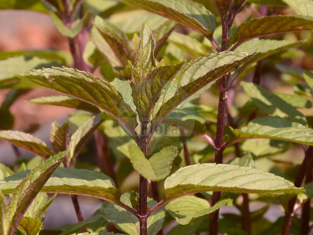 Foto von Mentha piperita (Pfeffer-Minze - Chocolate Mint). Das Foto wurde in Wien, Österreich aufgenommen. ---- Photo of Mentha piperita (Pfeffer-Minze - Chocolate Mint).The picture was taken in Vienna, Austria.(Mentha piperita,Pfeffer-Minze,Chocolate Mint,Mentha,Minze,Mint,Lamiaceae,Lippenbluetengewaechse;Lippenbluetler,Nettle family)