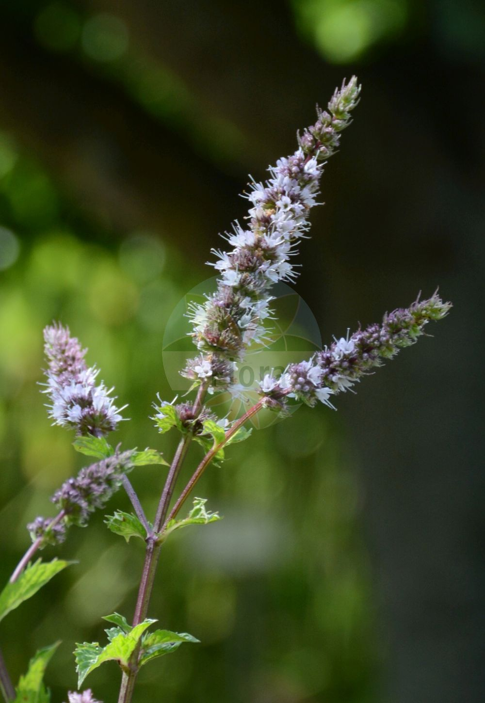 Foto von Mentha spicata (Ähren-Minze - Spear Mint). Das Foto wurde in Wuerzburg, Bayern, Deutschland aufgenommen. ---- Photo of Mentha spicata (Ähren-Minze - Spear Mint).The picture was taken in Wuerzburg, Bayern, Germany.(Mentha spicata,Ähren-Minze,Spear Mint,Round-leaved Mint,Mentha,Minze,Mint,Lamiaceae,Lippenbluetengewaechse;Lippenbluetler,Nettle family)