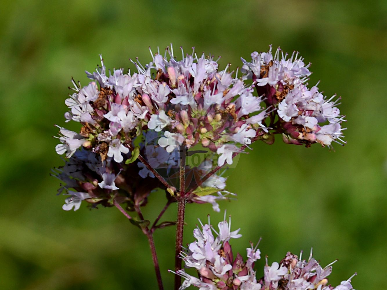 Foto von Origanum vulgare (Gewoehnlicher Dost - Wild Marjoram). Das Foto wurde in Berlin, Deutschland aufgenommen. ---- Photo of Origanum vulgare (Gewoehnlicher Dost - Wild Marjoram).The picture was taken in Berlin, Germany.(Origanum vulgare,Gewoehnlicher Dost,Wild Marjoram,Thymus origanum,Falscher Staudenmajoran,Wilder Majoran,Bastard Marjoram,Oregano,Common Marjoram,Origanum,Dost,Origanum,Lamiaceae,Lippenbluetengewaechse;Lippenbluetler,Nettle family)