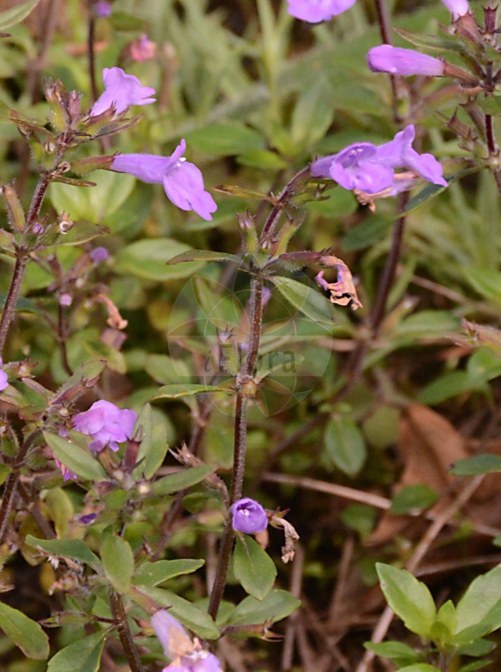 Foto von Clinopodium alpinum (Alpen-Steinquendel - Alpine Calamint). Das Foto wurde in Linz, Oberoesterreich, Österreich aufgenommen. ---- Photo of Clinopodium alpinum (Alpen-Steinquendel - Alpine Calamint).The picture was taken in Linz, Upper Austria, Austria.(Clinopodium alpinum,Alpen-Steinquendel,Alpine Calamint,Faucibarba alpina,Melissa alpina,Satureja alpina,Thymus alpinus,Alpenquendel,Rock Thyme,Clinopodium,Wirbeldost,Calamint,Lamiaceae,Lippenbluetengewaechse;Lippenbluetler,Nettle family)