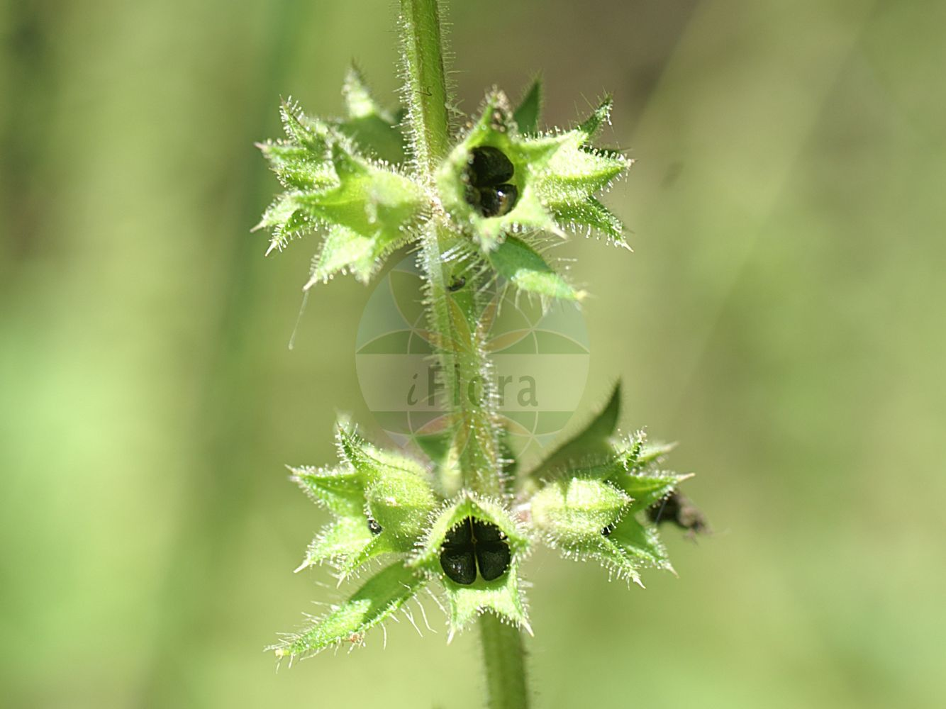 Foto von Stachys sylvatica (Wald-Ziest - Hedge Woundwort). Das Foto wurde in Hessen, Deutschland, Vogelsberg und angrenzende Sandsteingebiete aufgenommen. ---- Photo of Stachys sylvatica (Wald-Ziest - Hedge Woundwort).The picture was taken in Hesse, Germany, Vogelsberg and adjacent sandstone areas.(Stachys sylvatica,Wald-Ziest,Hedge Woundwort,Stachys canariensis,Stachys cordata,Stachys cordatifolia,Stachys foetida,Stachys glaucescens,Stachys trapezuntea,Hedge Stachys,Whitespot,Wood Betony,Stachys,Ziest,Hedgenettle,Lamiaceae,Lippenbluetengewaechse;Lippenbluetler,Nettle family)