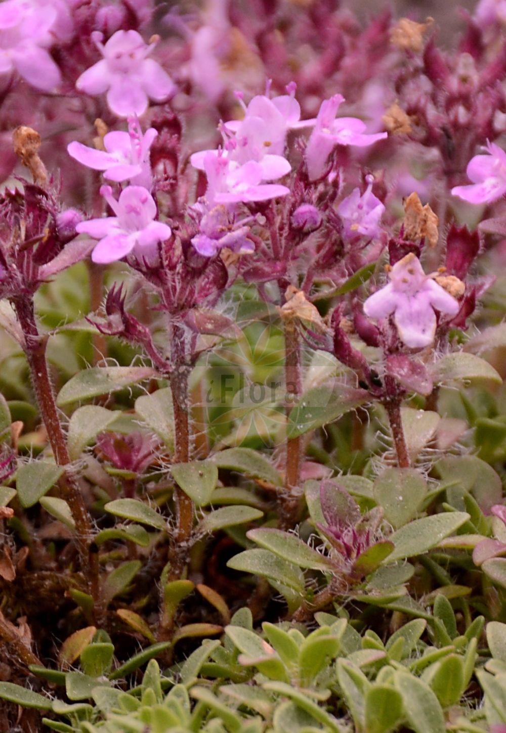 Foto von Thymus serpyllum (Gewoehnlicher Sand-Thymian - Breckland Thyme). Das Foto wurde in Bremen, Deutschland aufgenommen. ---- Photo of Thymus serpyllum (Gewoehnlicher Sand-Thymian - Breckland Thyme).The picture was taken in Bremen, Germany.(Thymus serpyllum,Gewoehnlicher Sand-Thymian,Breckland Thyme,Origanum serpyllum,Serpyllum vulgare,,Innsbrucker Quendel,Innsbrucker Thymian,Sand-Quendel,Sand-Thymian,Tiroler Quendel,Breckland Garden,Creeping Thyme,Mother-of-Thyme,Thymus,Thymian,Thyme,Lamiaceae,Lippenbluetengewaechse;Lippenbluetler,Nettle family)