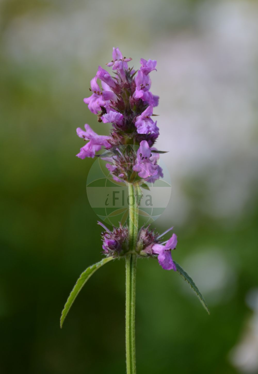 Foto von Stachys officinalis (Heil-Ziest - Betony). Das Foto wurde in Dresden, Sachsen, Deutschland aufgenommen. ---- Photo of Stachys officinalis (Heil-Ziest - Betony).The picture was taken in Dresden, Sachsen, Germany.(Stachys officinalis,Heil-Ziest,Betony,Stachys betonica,,Echte Betonie,Echtes Zehrkraut,Common Hedgenettle,Wood Marsh Woundwort,Stachys,Ziest,Hedgenettle,Lamiaceae,Lippenbluetengewaechse;Lippenbluetler,Nettle family)