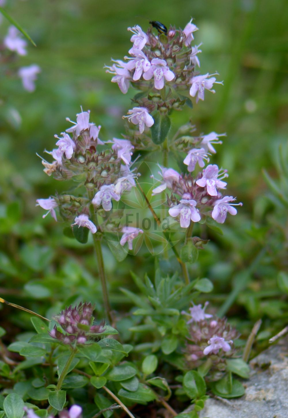 Foto von Thymus alpestris (Hochgebirgs-Thymian - Wild Thyme). Das Foto wurde in Monte Baldo, Ferrara di Monte Baldo, Veneto, Italien, Alpen aufgenommen. ---- Photo of Thymus alpestris (Hochgebirgs-Thymian - Wild Thyme).The picture was taken in Monte Baldo, Ferrara di Monte Baldo, Veneto, Italy, Alps.(Thymus alpestris,Hochgebirgs-Thymian,Wild Thyme,Thymus subalpestris,Alpine Thyme,Thymus,Thymian,Thyme,Lamiaceae,Lippenbluetengewaechse;Lippenbluetler,Nettle family)