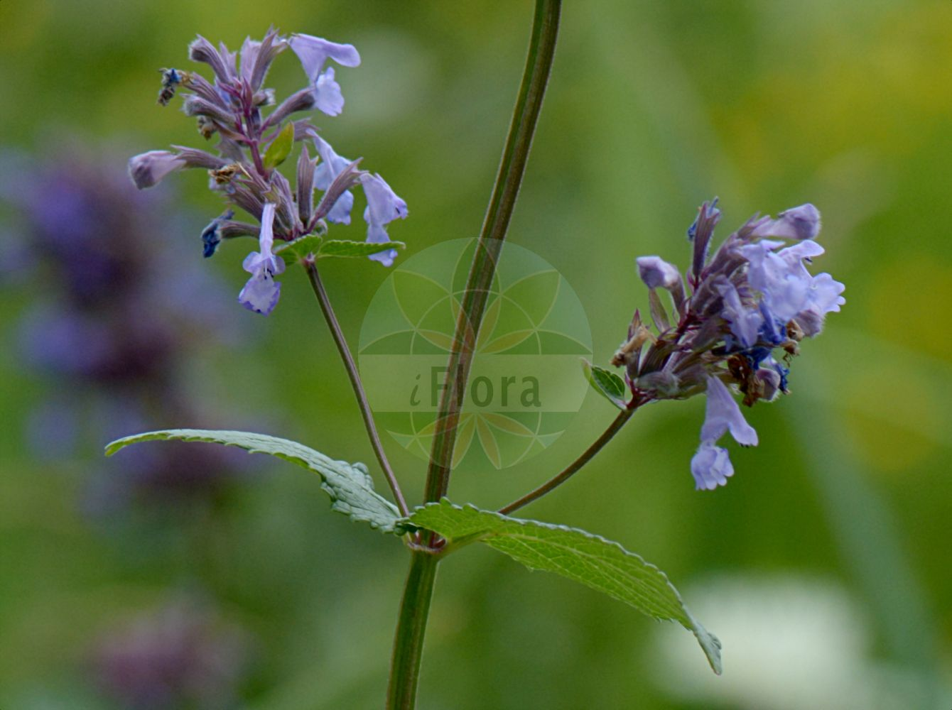 Foto von Nepeta grandiflora. Das Foto wurde in Station Alpine Joseph Fourier, Col du Lautaret, Auvergne-Rhône-Alpes, Frankreich aufgenommen. ---- Photo of Nepeta grandiflora.The picture was taken in Station Alpine Joseph Fourier, Col du Lautaret, Auvergne-Rhône-Alpes, France.(Nepeta grandiflora,Nepeta argentea,Nepeta colorata,Nepeta grandis,Nepeta lanceolata,Nepeta melissifolia,Nepeta,Katzenminze,Catnip,Lamiaceae,Lippenbluetengewaechse;Lippenbluetler,Nettle family)