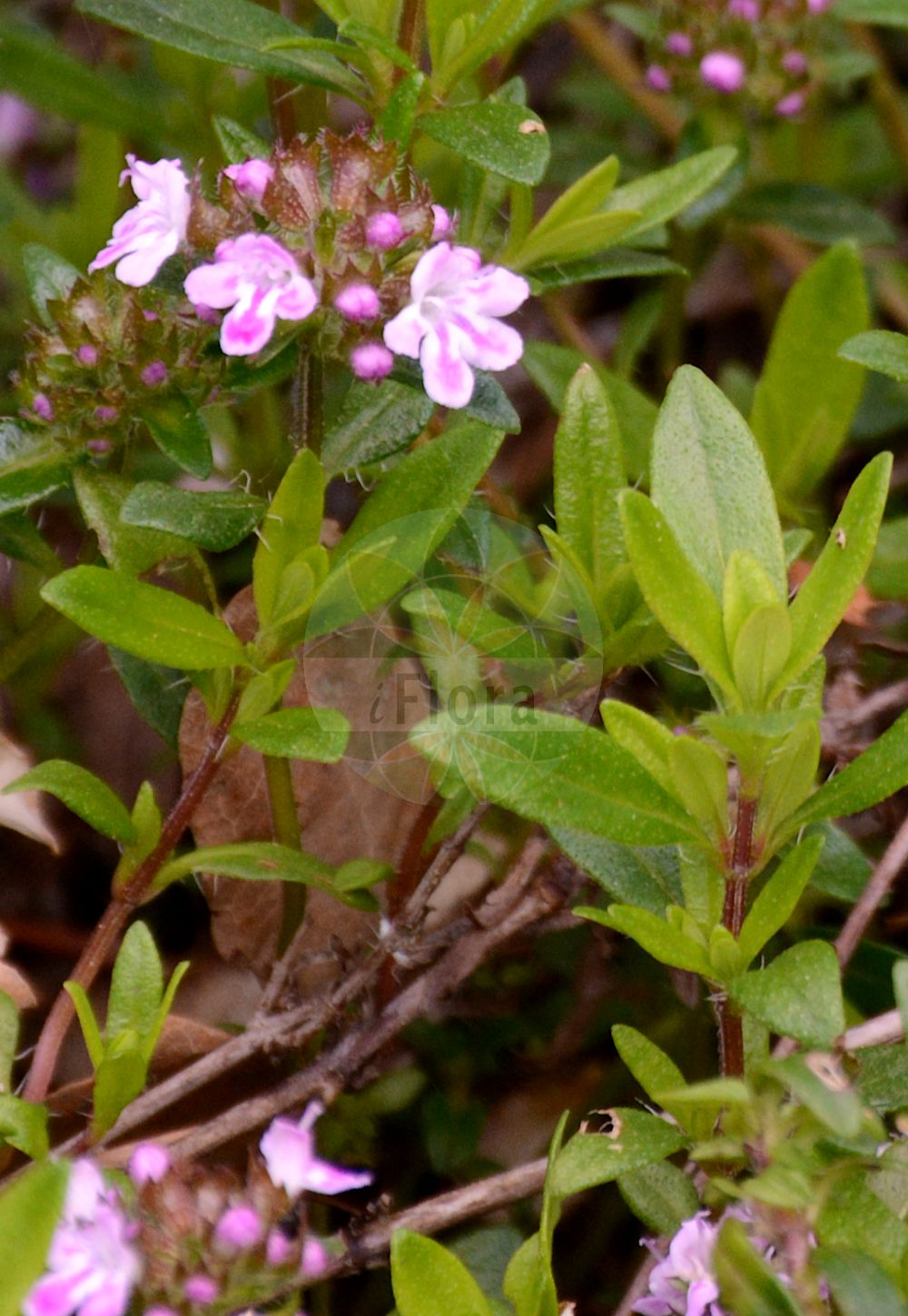 Foto von Thymus longicaulis. Das Foto wurde in Bremen, Deutschland aufgenommen. ---- Photo of Thymus longicaulis.The picture was taken in Bremen, Germany.(Thymus longicaulis,Thymus striatus var. longicaulis,Thymus,Thymian,Thyme,Lamiaceae,Lippenbluetengewaechse;Lippenbluetler,Nettle family)