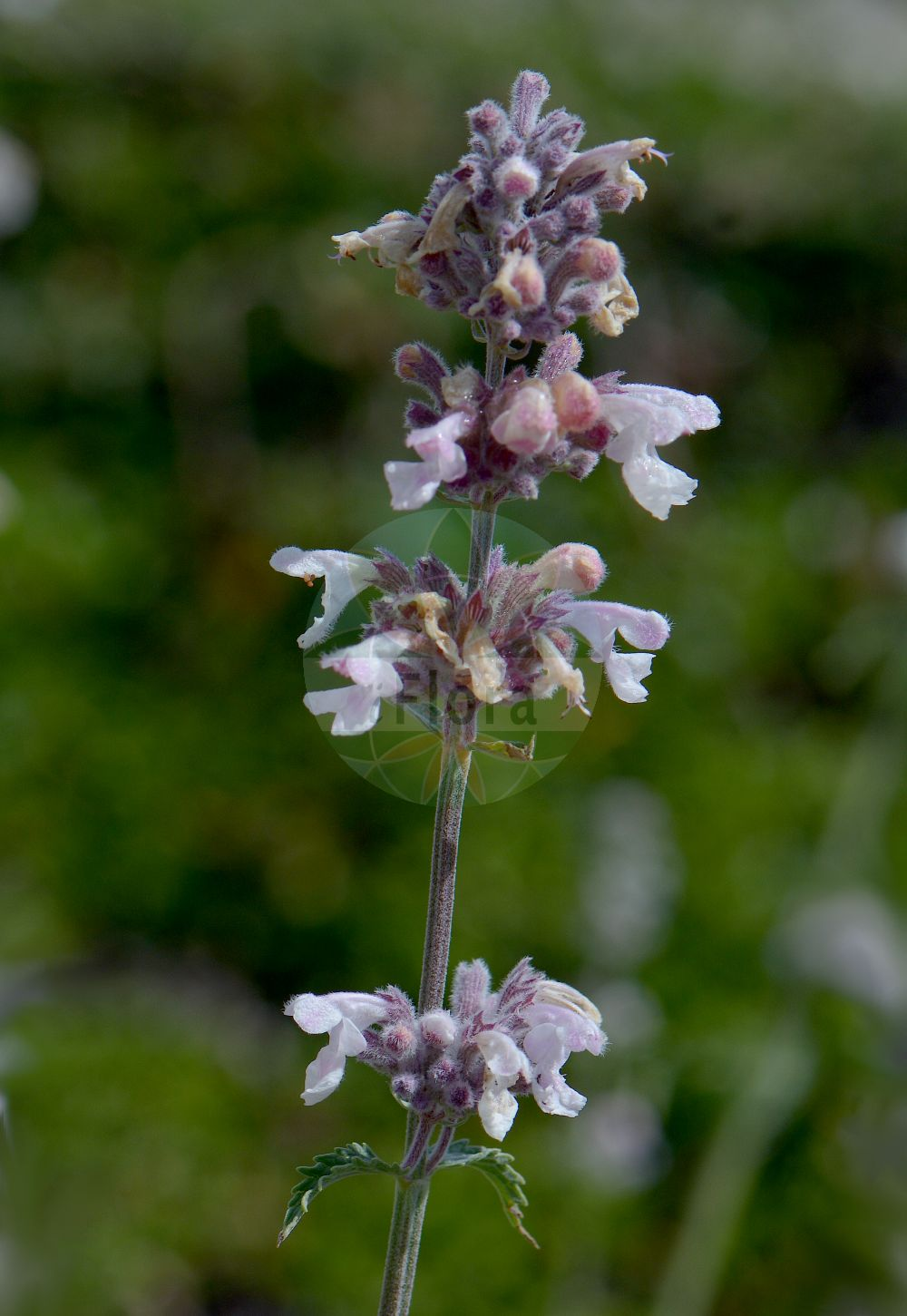 Foto von Nepeta nepetella. Das Foto wurde in Saussurea, Mont Blanc, Valle d'Aosta, Italien aufgenommen. ---- Photo of Nepeta nepetella.The picture was taken in Saussurea, Mont Blanc, Valle d'Aosta, Italy.(Nepeta nepetella,Cataria nepetella,Glechoma nepetella,,Nepeta,Katzenminze,Catnip,Lamiaceae,Lippenbluetengewaechse;Lippenbluetler,Nettle family)
