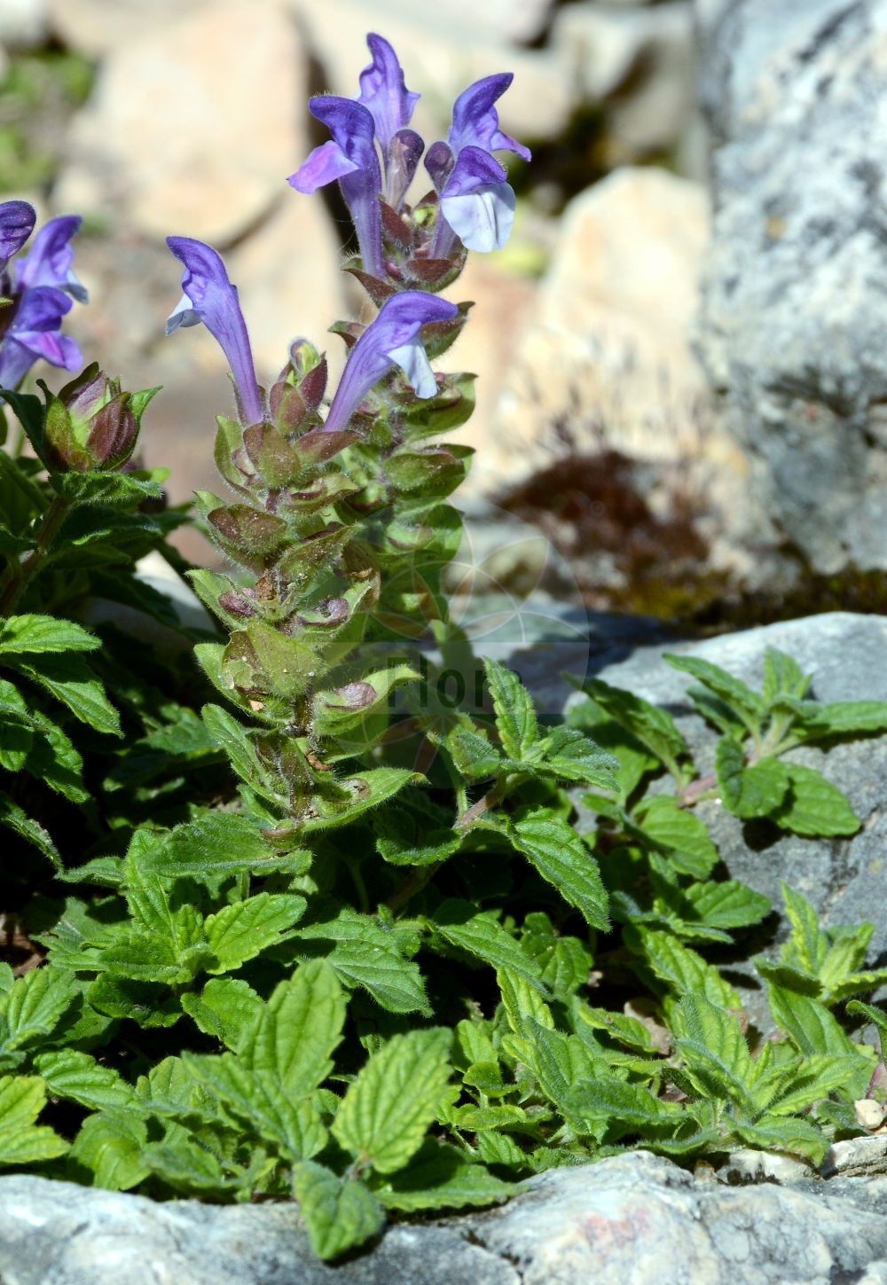 Foto von Scutellaria alpina. Das Foto wurde in Lyon, Auvergne-Rhône-Alpes, Frankreich aufgenommen. ---- Photo of Scutellaria alpina.The picture was taken in Lyon, Auvergne-Rhône-Alpes, France.(Scutellaria alpina,Cassida alpina,Scutellaria compressa,Scutellaria jabalambrensis,Scutellaria lupulina,Scutellaria variegata,Scutellaria viscida,Scutellaria,Helmkraut,Skullcap,Lamiaceae,Lippenbluetengewaechse;Lippenbluetler,Nettle family)