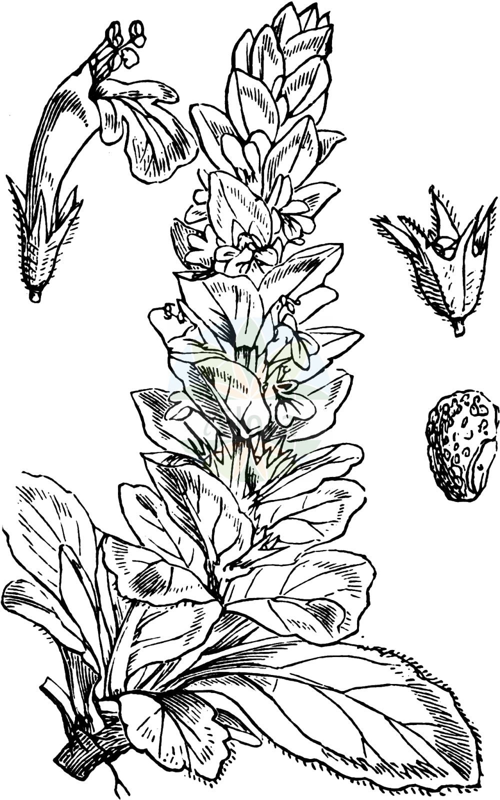 Historische Abbildung von Ajuga genevensis (Genfer Guensel - Cornish Bugle). Das Bild zeigt Blatt, Bluete, Frucht und Same. ---- Historical Drawing of Ajuga genevensis (Genfer Guensel - Cornish Bugle).The image is showing leaf, flower, fruit and seed.(Ajuga genevensis,Genfer Guensel,Cornish Bugle,Ajuga alpestris,Ajuga alpicola,Ajuga foliosa,Ajuga genevensis,Ajuga glabrifolia,Ajuga interrupta,Ajuga lanata,Ajuga montana,Ajuga rugosa,Bugula alpina,Bugula genevensis,Bugula tomentosa,Teucrium genevense,Genfer Guensel,Heide-Guensel,Zottiger Guensel,Cornish Bugle,Blue Bugle,Geneva Bugle,Ajuga,Guensel,Bugle,Lamiaceae,Lippenbluetengewaechse,Lippenbluetler,Nettle family,Blatt,Bluete,Frucht,Same,leaf,flower,fruit,seed,Fitch et al. (1880))