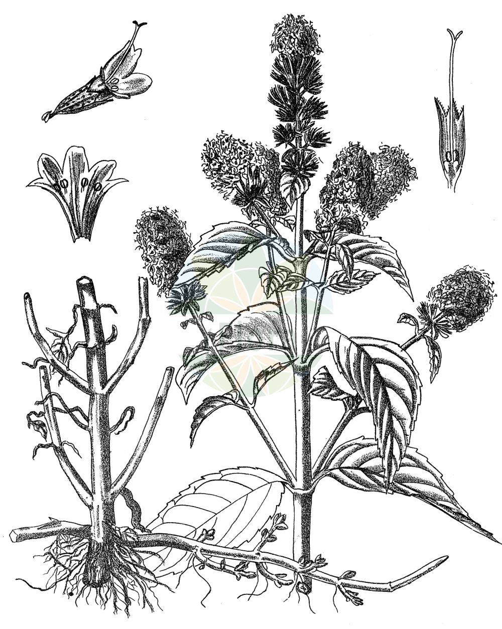Historische Abbildung von Mentha piperita agg. (Pfeffer-Minze - Chocolate Mint). Das Bild zeigt Blatt, Bluete, Frucht und Same. ---- Historical Drawing of Mentha piperita agg. (Pfeffer-Minze - Chocolate Mint).The image is showing leaf, flower, fruit and seed.(Mentha piperita agg.,Pfeffer-Minze,Chocolate Mint,Mentha piperita,Pfeffer-Minze,Chocolate Mint,Mentha,Minze,Mint,Lamiaceae,Lippenbluetengewaechse,Lippenbluetler,Nettle family,Blatt,Bluete,Frucht,Same,leaf,flower,fruit,seed,Kirtikar & Basu (1918))