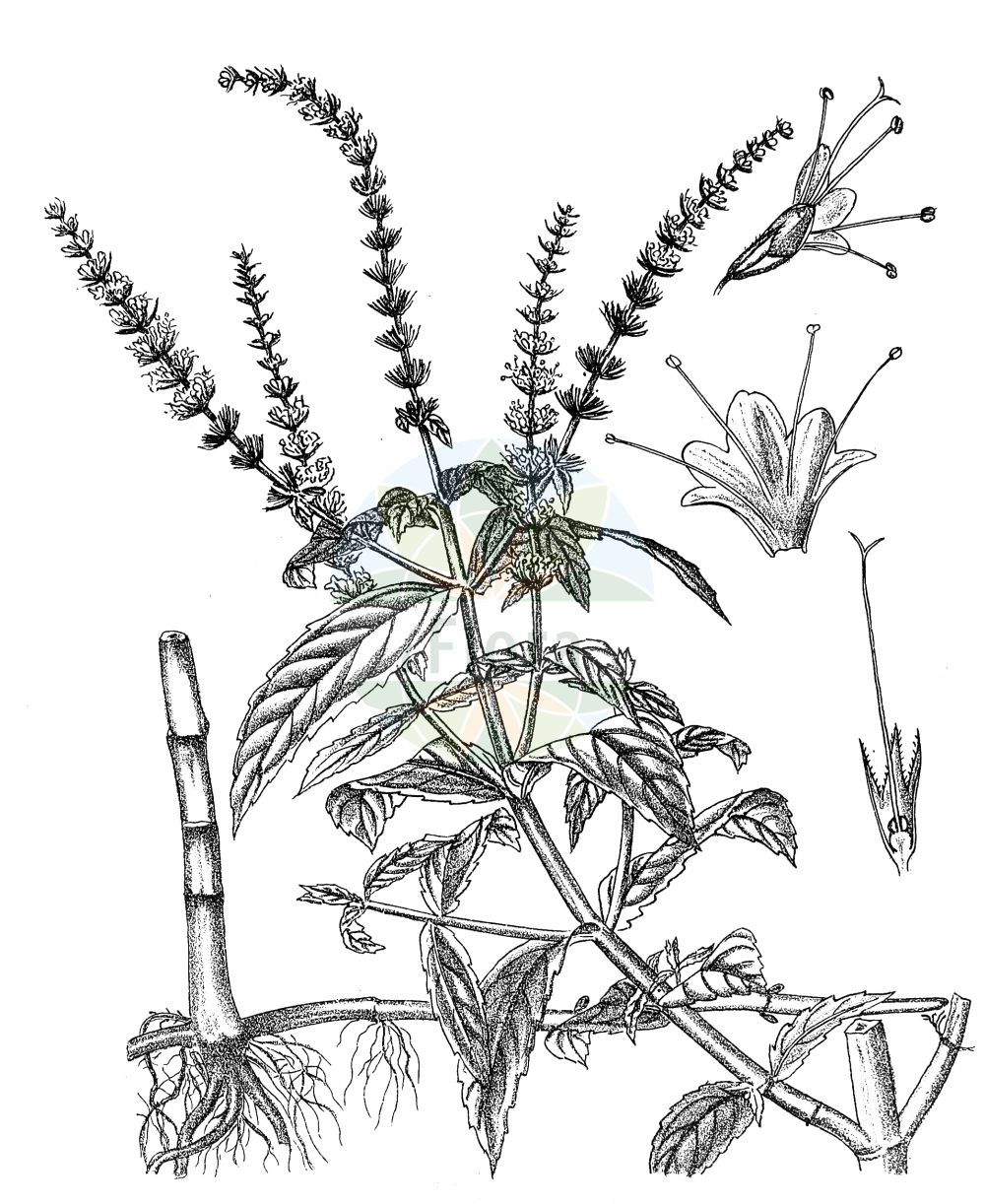 Historische Abbildung von Mentha spicata (Ähren-Minze - Spear Mint). Das Bild zeigt Blatt, Bluete, Frucht und Same. ---- Historical Drawing of Mentha spicata (Ähren-Minze - Spear Mint).The image is showing leaf, flower, fruit and seed.(Mentha spicata,Ähren-Minze,Spear Mint,Mentha spicata,Ähren-Minze,Spear Mint,Round-leaved Mint,Mentha,Minze,Mint,Lamiaceae,Lippenbluetengewaechse,Lippenbluetler,Nettle family,Blatt,Bluete,Frucht,Same,leaf,flower,fruit,seed,Kirtikar & Basu (1918))