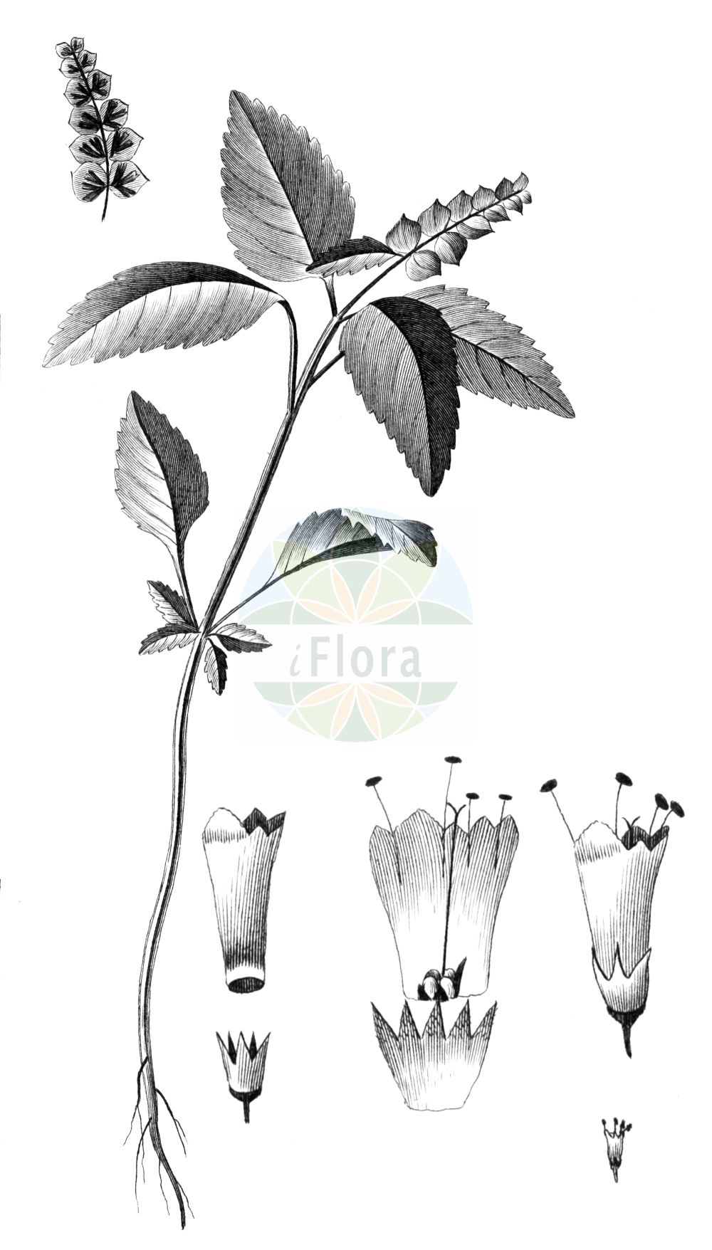 Historische Abbildung von Elsholtzia ciliata. Das Bild zeigt Blatt, Bluete, Frucht und Same. ---- Historical Drawing of Elsholtzia ciliata.The image is showing leaf, flower, fruit and seed.(Elsholtzia ciliata,Elsholtzia ciliata,Elsholtzia cristata,Elsholtzia formosana,Elsholtzia interrupta,Elsholtzia minima,Elsholtzia patrinii,Elsholtzia pseudocristata,Hyssopus bracteatus,Hyssopus ocymifolius,Mentha baikalensis,Mentha cristata,Mentha ovata,Mentha patrinii,Mentha perilloides,Perilla polystachya,Sideritis ciliata,Elsholtzia,Lamiaceae,Lippenbluetengewaechse,Lippenbluetler,Nettle family,Blatt,Bluete,Frucht,Same,leaf,flower,fruit,seed,Cavanilles (1745-1804))