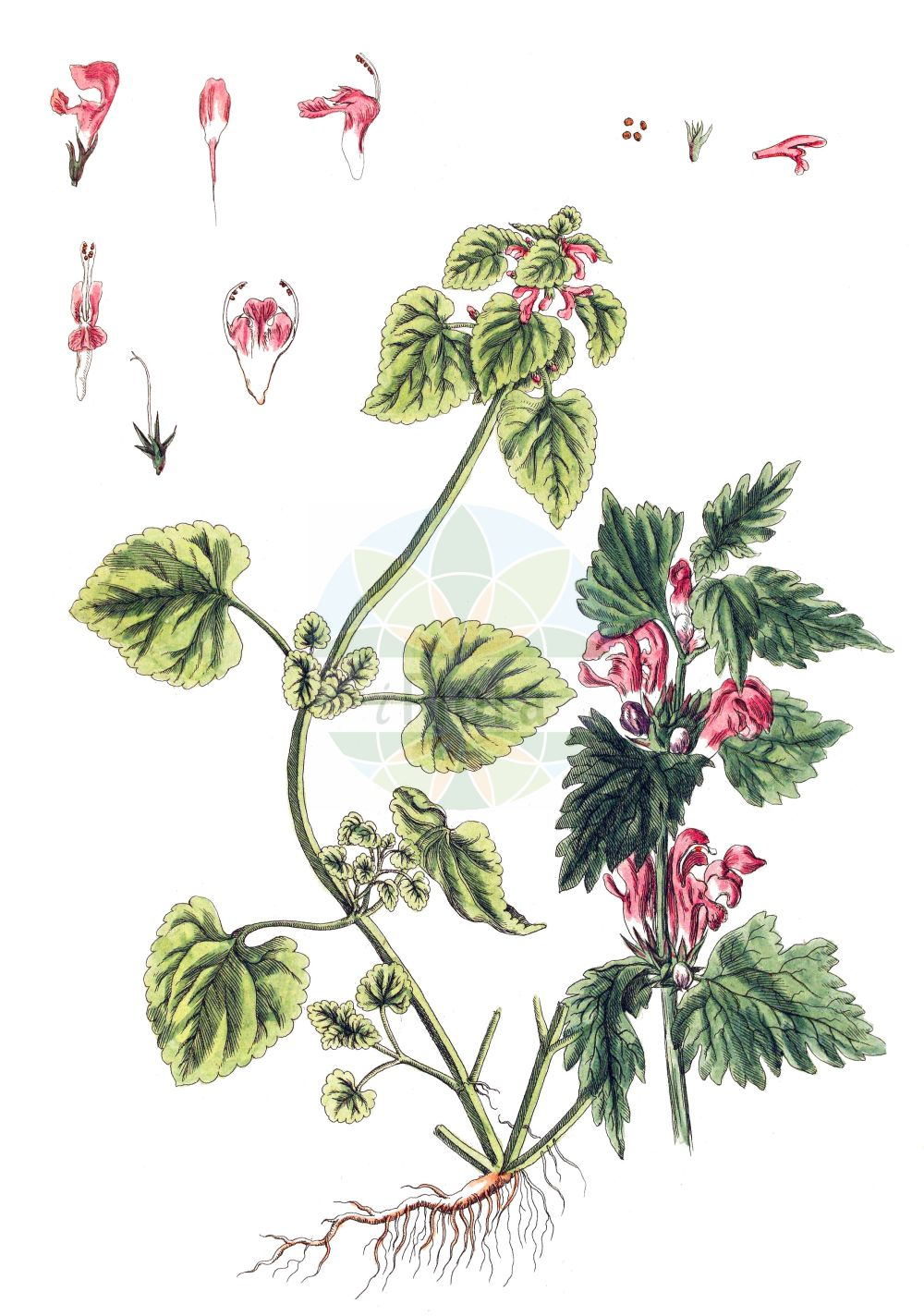Historische Abbildung von Lamium maculatum (Gefleckte Taubnessel - Spotted Dead-nettle). Das Bild zeigt Blatt, Bluete, Frucht und Same. ---- Historical Drawing of Lamium maculatum (Gefleckte Taubnessel - Spotted Dead-nettle).The image is showing leaf, flower, fruit and seed.(Lamium maculatum,Gefleckte Taubnessel,Spotted Dead-nettle,Lamium affine,Lamium cardiaca,Lamium columnae,Lamium cupreum,Lamium dilatatum,Lamium elegantissimum,Lamium foliosum,Lamium grandiflorum,Lamium grenieri,Lamium gundelsheimeri,Lamium hirsutum,Lamium laevigatum,Lamium maculatum,Lamium melissifolium,Lamium mutabile,Lamium niveum,Lamium pallidiflorum,Lamium rubrum,Lamium rugosum,Lamium stoloniferum,Lamium tillii,Lamium truncatum,Lamium villosifolium,Lamium vulgatum var. rubrum,Gefleckte Taubnessel,Spotted Dead-nettle,Spotted Henbit,Lamium,Taubnessel,Deadnettle,Lamiaceae,Lippenbluetengewaechse,Lippenbluetler,Nettle family,Blatt,Bluete,Frucht,Same,leaf,flower,fruit,seed,Blackwell (1750-1773))