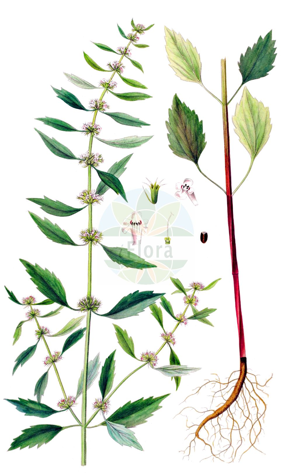 Historische Abbildung von Chaiturus marrubiastrum (Filziges Herzgespann - False Motherwort). Das Bild zeigt Blatt, Bluete, Frucht und Same. ---- Historical Drawing of Chaiturus marrubiastrum (Filziges Herzgespann - False Motherwort).The image is showing leaf, flower, fruit and seed.(Chaiturus marrubiastrum,Filziges Herzgespann,False Motherwort,Cardiaca marrubiastrum,Chaiturus leonuroides,Chaiturus marrubiastrum,Chaiturus marrubifolius,Leonurus marrubiastrum,Leonurus marrubifolius,Leonurus parviflorus,Filziges Herzgespann,Andorn-Loewenschwanz,Falscher Andorn,Katzenschwanz,False Motherwort,Lion's Tail,Horehound Motherwort,Chaiturus,Lamiaceae,Lippenbluetengewaechse,Lippenbluetler,Nettle family,Blatt,Bluete,Frucht,Same,leaf,flower,fruit,seed,Oeder (1761-1883))