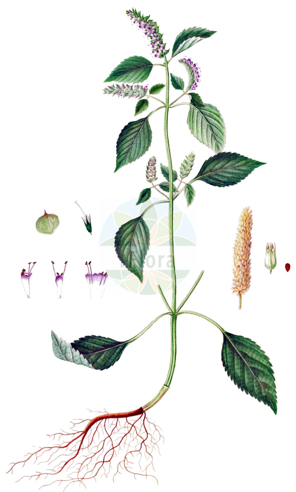 Historische Abbildung von Elsholtzia ciliata. Das Bild zeigt Blatt, Bluete, Frucht und Same. ---- Historical Drawing of Elsholtzia ciliata.The image is showing leaf, flower, fruit and seed.(Elsholtzia ciliata,Elsholtzia ciliata,Elsholtzia cristata,Elsholtzia formosana,Elsholtzia interrupta,Elsholtzia minima,Elsholtzia patrinii,Elsholtzia pseudocristata,Hyssopus bracteatus,Hyssopus ocymifolius,Mentha baikalensis,Mentha cristata,Mentha ovata,Mentha patrinii,Mentha perilloides,Perilla polystachya,Sideritis ciliata,Elsholtzia,Lamiaceae,Lippenbluetengewaechse,Lippenbluetler,Nettle family,Blatt,Bluete,Frucht,Same,leaf,flower,fruit,seed,Oeder (1761-1883))