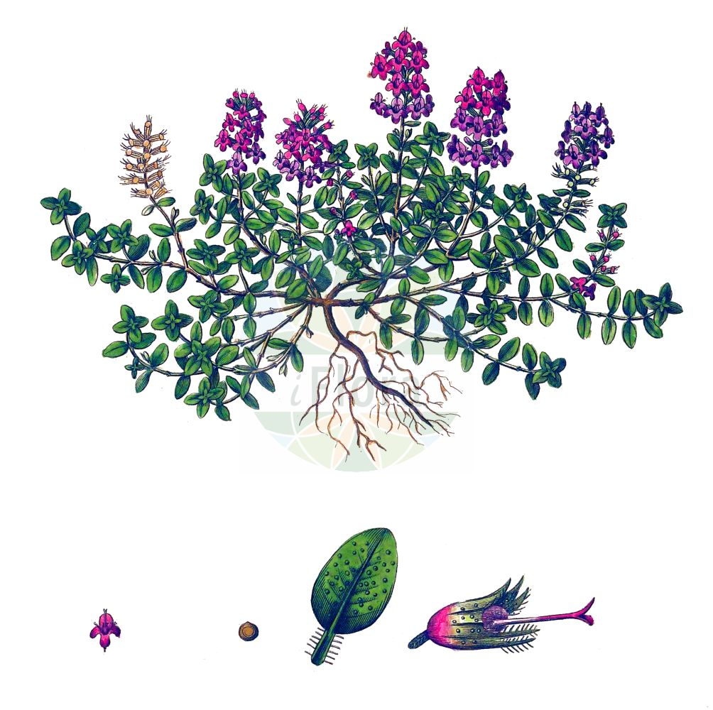 Historische Abbildung von Thymus serpyllum (Gewoehnlicher Sand-Thymian - Breckland Thyme). Das Bild zeigt Blatt, Bluete, Frucht und Same. ---- Historical Drawing of Thymus serpyllum (Gewoehnlicher Sand-Thymian - Breckland Thyme).The image is showing leaf, flower, fruit and seed.(Thymus serpyllum,Gewoehnlicher Sand-Thymian,Breckland Thyme,Origanum serpyllum,Serpyllum vulgare,Thymus serpyllum,Gewoehnlicher Sand-Thymian,Innsbrucker Quendel,Innsbrucker Thymian,Sand-Quendel,Sand-Thymian,Tiroler Quendel,Breckland Thyme,Breckland Garden,Creeping Thyme,Mother-of-Thyme,Thymus,Thymian,Thyme,Lamiaceae,Lippenbluetengewaechse,Lippenbluetler,Nettle family,Blatt,Bluete,Frucht,Same,leaf,flower,fruit,seed,Curtis (1777-1798))