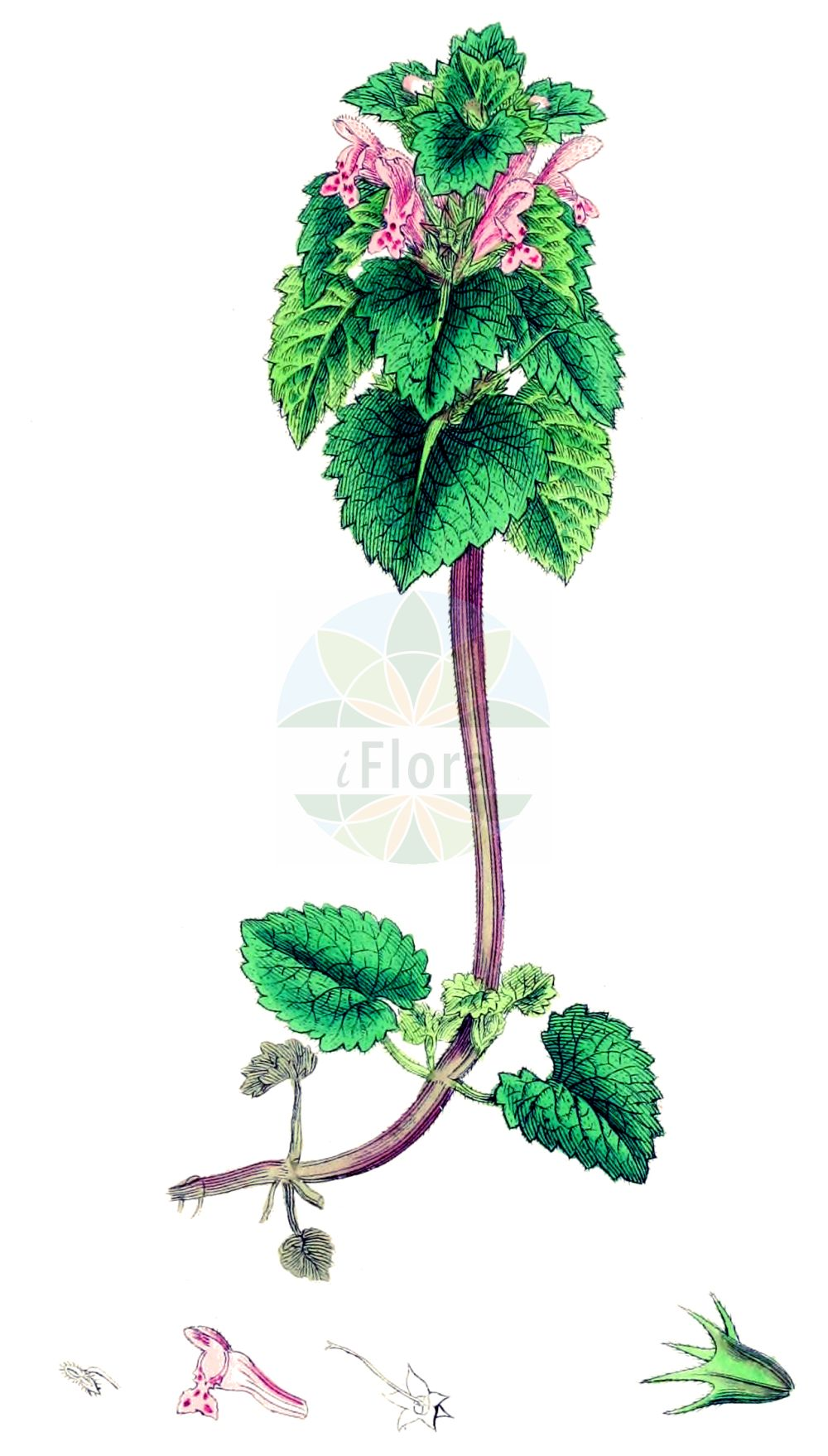 Historische Abbildung von Lamium purpureum (Purpurrote Taubnessel - Red Dead-nettle). Das Bild zeigt Blatt, Bluete, Frucht und Same. ---- Historical Drawing of Lamium purpureum (Purpurrote Taubnessel - Red Dead-nettle).The image is showing leaf, flower, fruit and seed.(Lamium purpureum,Purpurrote Taubnessel,Red Dead-nettle,Lamiopsis purpurea,Lamium purpureum,Purpurrote Taubnessel,Eingeschnittene Taubnessel,Purpurrote Taubnessel i.w.S.,Red Dead-nettle,Purple Archangel,Purple Deadnettle,Red Henbit,Lamium,Taubnessel,Deadnettle,Lamiaceae,Lippenbluetengewaechse,Lippenbluetler,Nettle family,Blatt,Bluete,Frucht,Same,leaf,flower,fruit,seed,Sowerby (1790-1813))