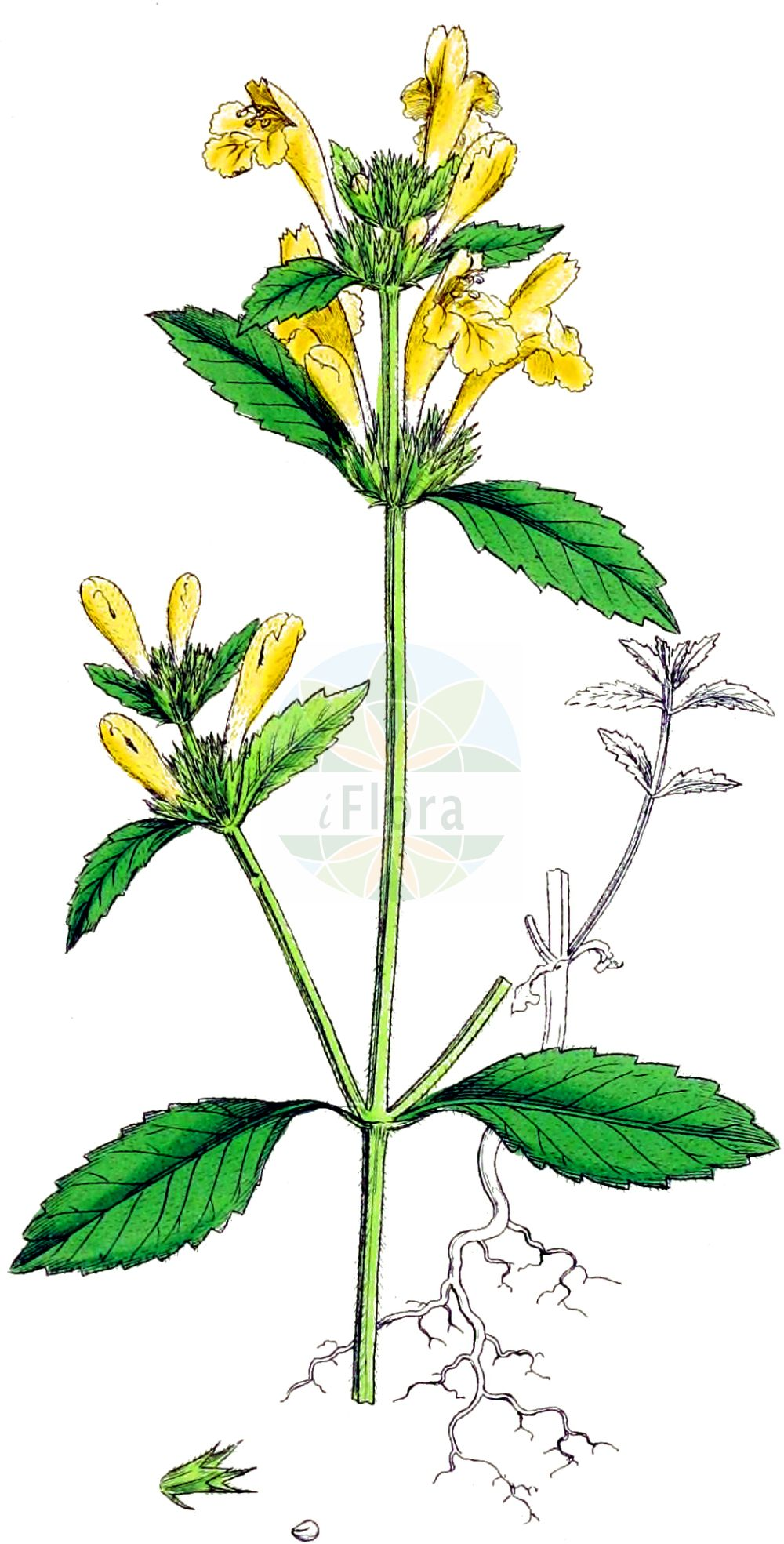 Historische Abbildung von Galeopsis segetum (Gelber Hohlzahn - Downy Hemp-nettle). Das Bild zeigt Blatt, Bluete, Frucht und Same. ---- Historical Drawing of Galeopsis segetum (Gelber Hohlzahn - Downy Hemp-nettle).The image is showing leaf, flower, fruit and seed.(Galeopsis segetum,Gelber Hohlzahn,Downy Hemp-nettle,Dalanum segetum,Galeopsis dubia,Galeopsis elegans,Galeopsis grandiflora,Galeopsis ochroleuca,Galeopsis segetum,Galeopsis villosa,Ladanella segetum,Ladanum dubium,Ladanum luteum,Ladanum ochroleucum,Tetrahit longiflorum,Gelber Hohlzahn,Saat-Hohlzahn,Downy Hemp-nettle,Yellow Hemp-nettle,Galeopsis,Hohlzahn,Hempnettle,Lamiaceae,Lippenbluetengewaechse,Lippenbluetler,Nettle family,Blatt,Bluete,Frucht,Same,leaf,flower,fruit,seed,Sowerby (1790-1813))