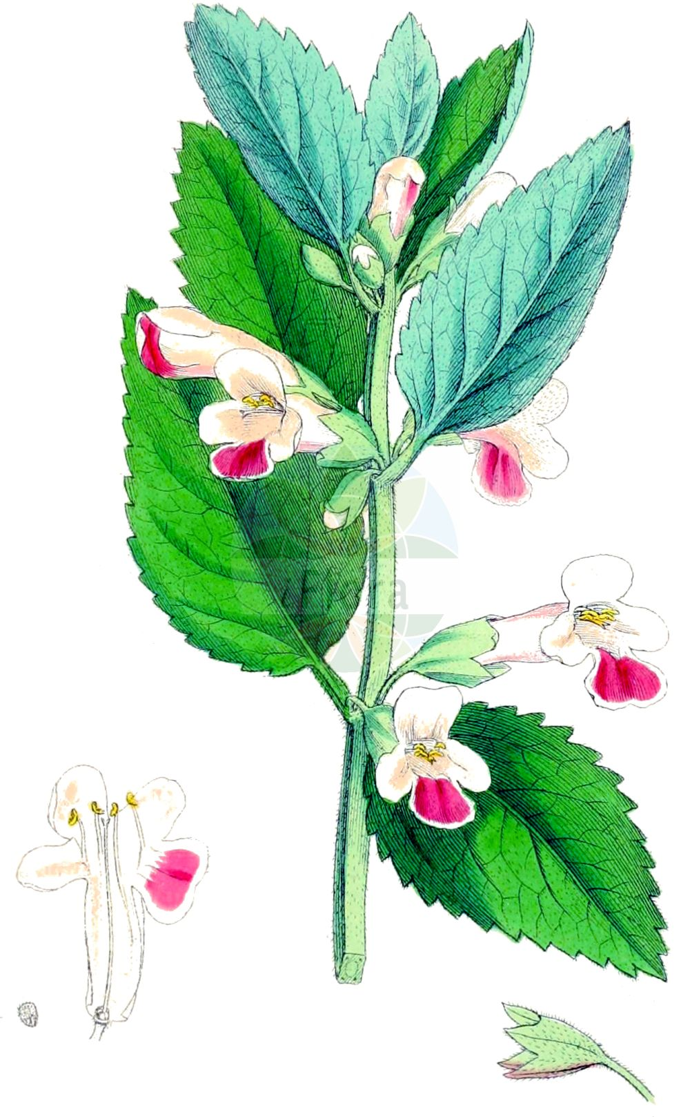Historische Abbildung von Melittis melissophyllum (Immenblatt - Bastard Balm). Das Bild zeigt Blatt, Bluete, Frucht und Same. ---- Historical Drawing of Melittis melissophyllum (Immenblatt - Bastard Balm).The image is showing leaf, flower, fruit and seed.(Melittis melissophyllum,Immenblatt,Bastard Balm,Melittis melissophyllum,Immenblatt,Bastard Balm,Wood Bastard Balm,Melittis,Immenblatt,Bastard Balm,Lamiaceae,Lippenbluetengewaechse,Lippenbluetler,Nettle family,Blatt,Bluete,Frucht,Same,leaf,flower,fruit,seed,Sowerby (1790-1813))