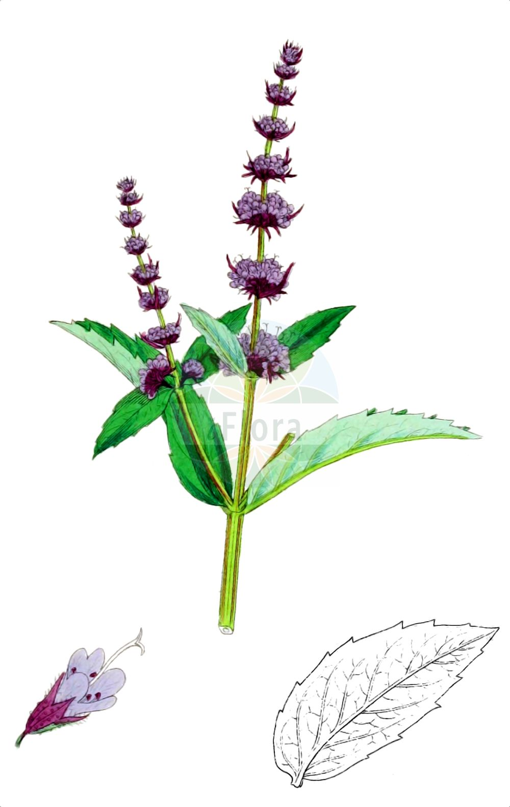 Historische Abbildung von Mentha spicata (Ähren-Minze - Spear Mint). Das Bild zeigt Blatt, Bluete, Frucht und Same. ---- Historical Drawing of Mentha spicata (Ähren-Minze - Spear Mint).The image is showing leaf, flower, fruit and seed.(Mentha spicata,Ähren-Minze,Spear Mint,Mentha spicata,Ähren-Minze,Spear Mint,Round-leaved Mint,Mentha,Minze,Mint,Lamiaceae,Lippenbluetengewaechse,Lippenbluetler,Nettle family,Blatt,Bluete,Frucht,Same,leaf,flower,fruit,seed,Sowerby (1790-1813))