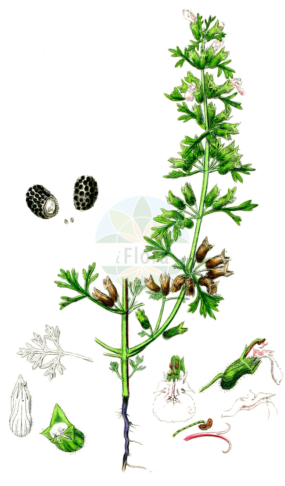 Historische Abbildung von Teucrium botrys (Trauben-Gamander - Cut-leaved Germander). Das Bild zeigt Blatt, Bluete, Frucht und Same. ---- Historical Drawing of Teucrium botrys (Trauben-Gamander - Cut-leaved Germander).The image is showing leaf, flower, fruit and seed.(Teucrium botrys,Trauben-Gamander,Cut-leaved Germander,Botrys chamaedryoides,Chamaedrys botrys,Chamaedrys laciniata,Monochilon bipinnatifidus,Scorodonia botrys,Teucrium alpinum,Teucrium botrydium,Teucrium botrys,Teucrium chamaedryoides,Trixago botrys,Trauben-Gamander,Feld-Gamander,Cut-leaved Germander,Cutleaf Germander,Teucrium,Gamander,Germander,Lamiaceae,Lippenbluetengewaechse,Lippenbluetler,Nettle family,Blatt,Bluete,Frucht,Same,leaf,flower,fruit,seed,Sowerby (1790-1813))