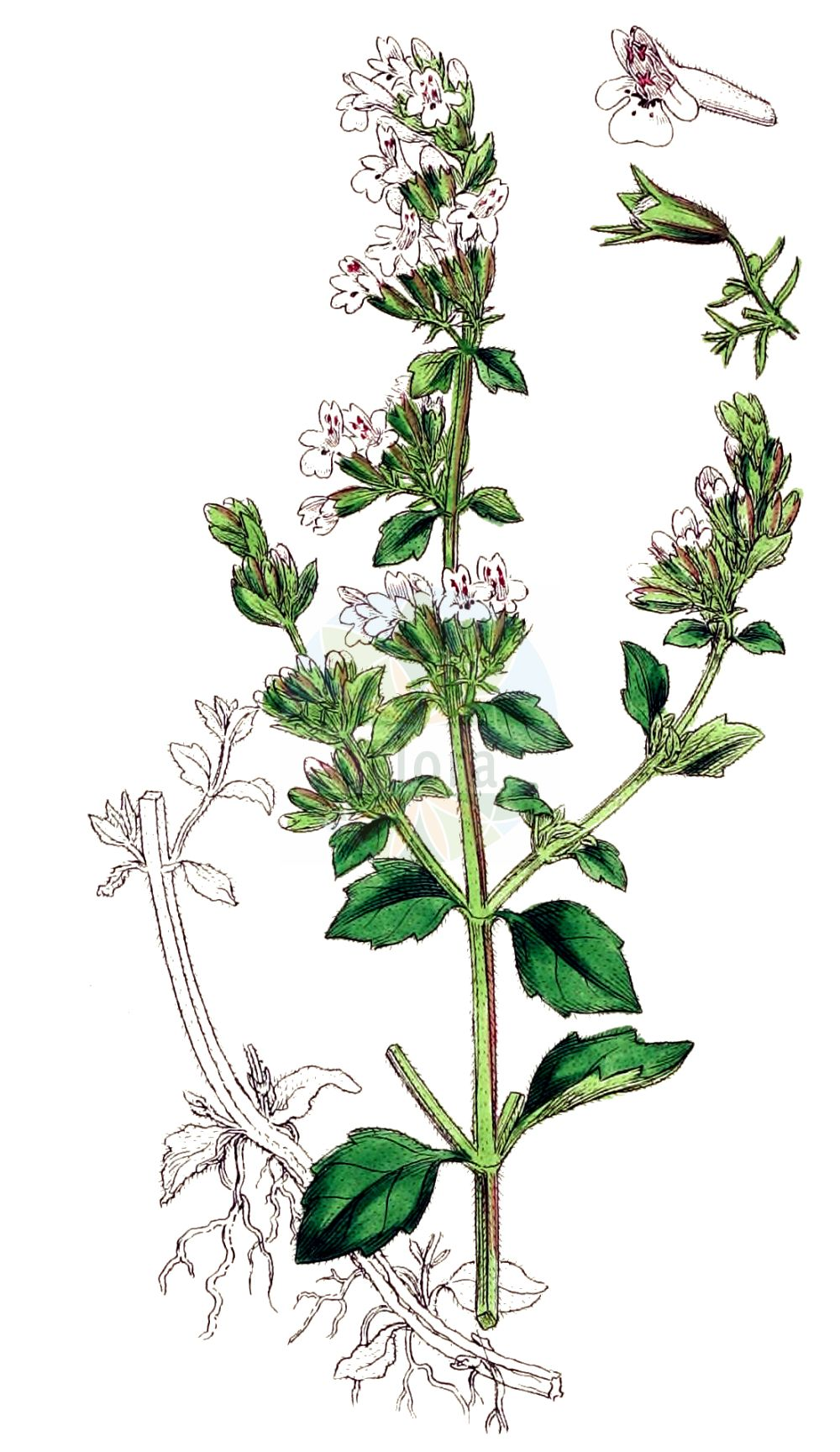 Historische Abbildung von Calamintha nepeta agg. (Kleinbluetige Bergminze - Calamint). Das Bild zeigt Blatt, Bluete, Frucht und Same. ---- Historical Drawing of Calamintha nepeta agg. (Kleinbluetige Bergminze - Calamint).The image is showing leaf, flower, fruit and seed.(Calamintha nepeta agg.,Kleinbluetige Bergminze,Calamint,Kleinbluetige Bergminze,Echte Bergminze,Calamint,Field Balm,Field Calamint,Lesser Calamint,Small-flowered Calamint,Calamintha,Bergminze,Calamint,Blatt,Bluete,Frucht,Same,leaf,flower,fruit,seed,Sowerby (1790-1813))