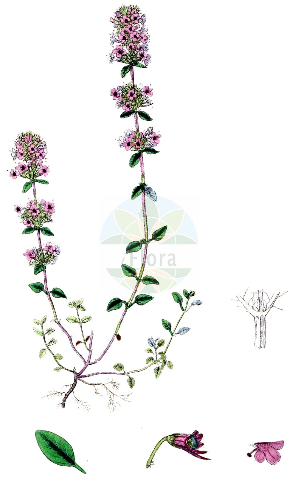 Historische Abbildung von Thymus alpestris (Hochgebirgs-Thymian - Wild Thyme). Das Bild zeigt Blatt, Bluete, Frucht und Same. ---- Historical Drawing of Thymus alpestris (Hochgebirgs-Thymian - Wild Thyme).The image is showing leaf, flower, fruit and seed.(Thymus alpestris,Hochgebirgs-Thymian,Wild Thyme,Thymus alpestris,Thymus subalpestris,Hochgebirgs-Thymian,Wild Thyme,Alpine Thyme,Thymus,Thymian,Thyme,Lamiaceae,Lippenbluetengewaechse,Lippenbluetler,Nettle family,Blatt,Bluete,Frucht,Same,leaf,flower,fruit,seed,Sowerby (1790-1813))