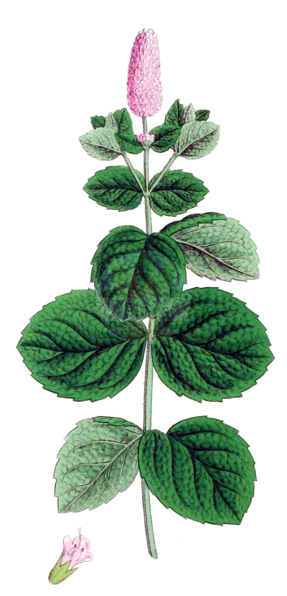Historische Abbildung von Mentha x villosa (Zottige Minze - Bowles Mint). Das Bild zeigt Blatt, Bluete, Frucht und Same. ---- Historical Drawing of Mentha x villosa (Zottige Minze - Bowles Mint).The image is showing leaf, flower, fruit and seed.(Mentha x villosa,Zottige Minze,Bowles Mint,Mentha villosa,Mentha x villosa,Zottige Minze,Bowles Mint,Mentha,Minze,Mint,Lamiaceae,Lippenbluetengewaechse,Lippenbluetler,Nettle family,Blatt,Bluete,Frucht,Same,leaf,flower,fruit,seed,Sowerby (1790-1813))