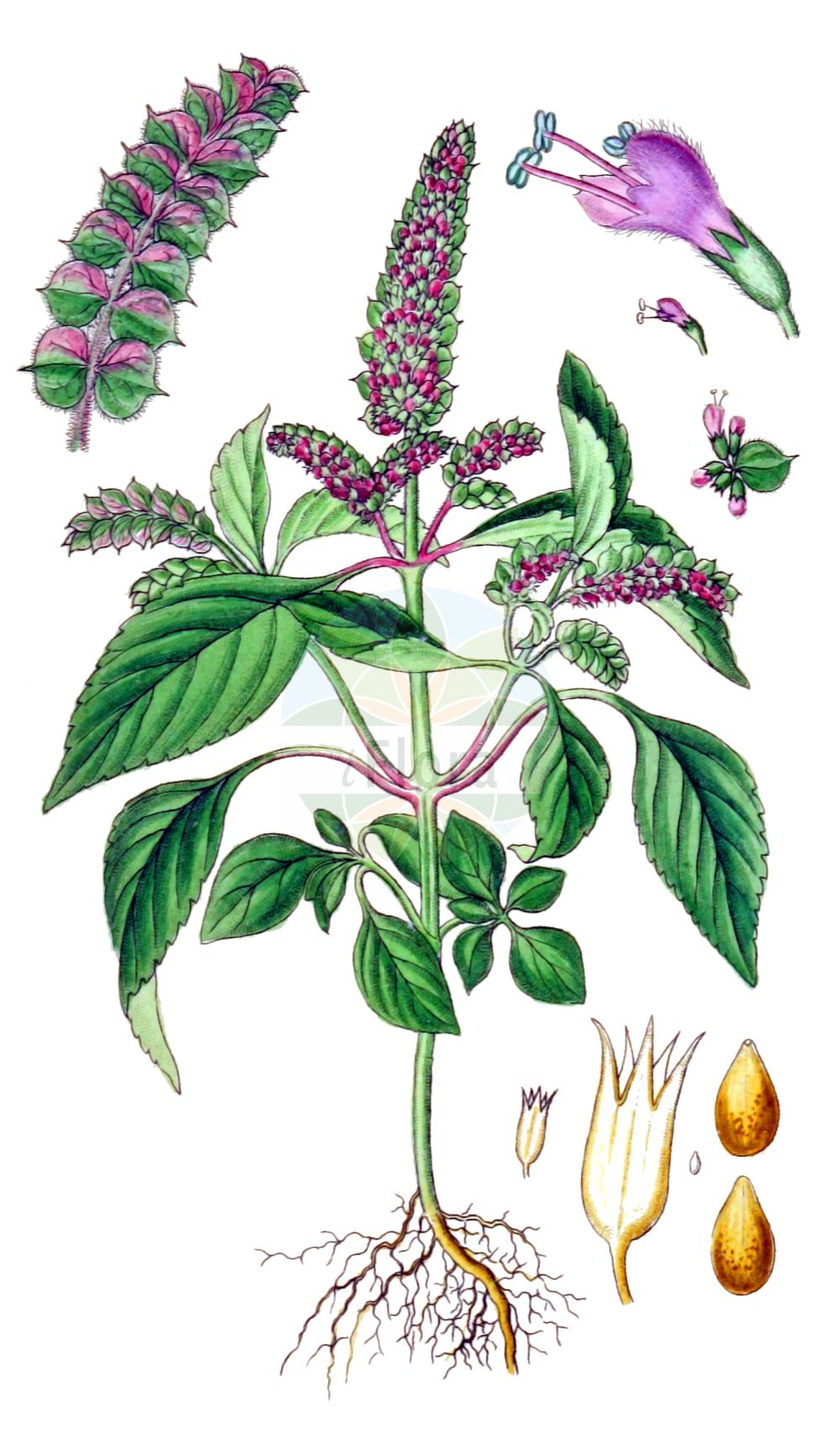 Historische Abbildung von Elsholtzia ciliata. Das Bild zeigt Blatt, Bluete, Frucht und Same. ---- Historical Drawing of Elsholtzia ciliata.The image is showing leaf, flower, fruit and seed.(Elsholtzia ciliata,Elsholtzia ciliata,Elsholtzia cristata,Elsholtzia formosana,Elsholtzia interrupta,Elsholtzia minima,Elsholtzia patrinii,Elsholtzia pseudocristata,Hyssopus bracteatus,Hyssopus ocymifolius,Mentha baikalensis,Mentha cristata,Mentha ovata,Mentha patrinii,Mentha perilloides,Perilla polystachya,Sideritis ciliata,Elsholtzia,Lamiaceae,Lippenbluetengewaechse,Lippenbluetler,Nettle family,Blatt,Bluete,Frucht,Same,leaf,flower,fruit,seed,Sturm (1796f))