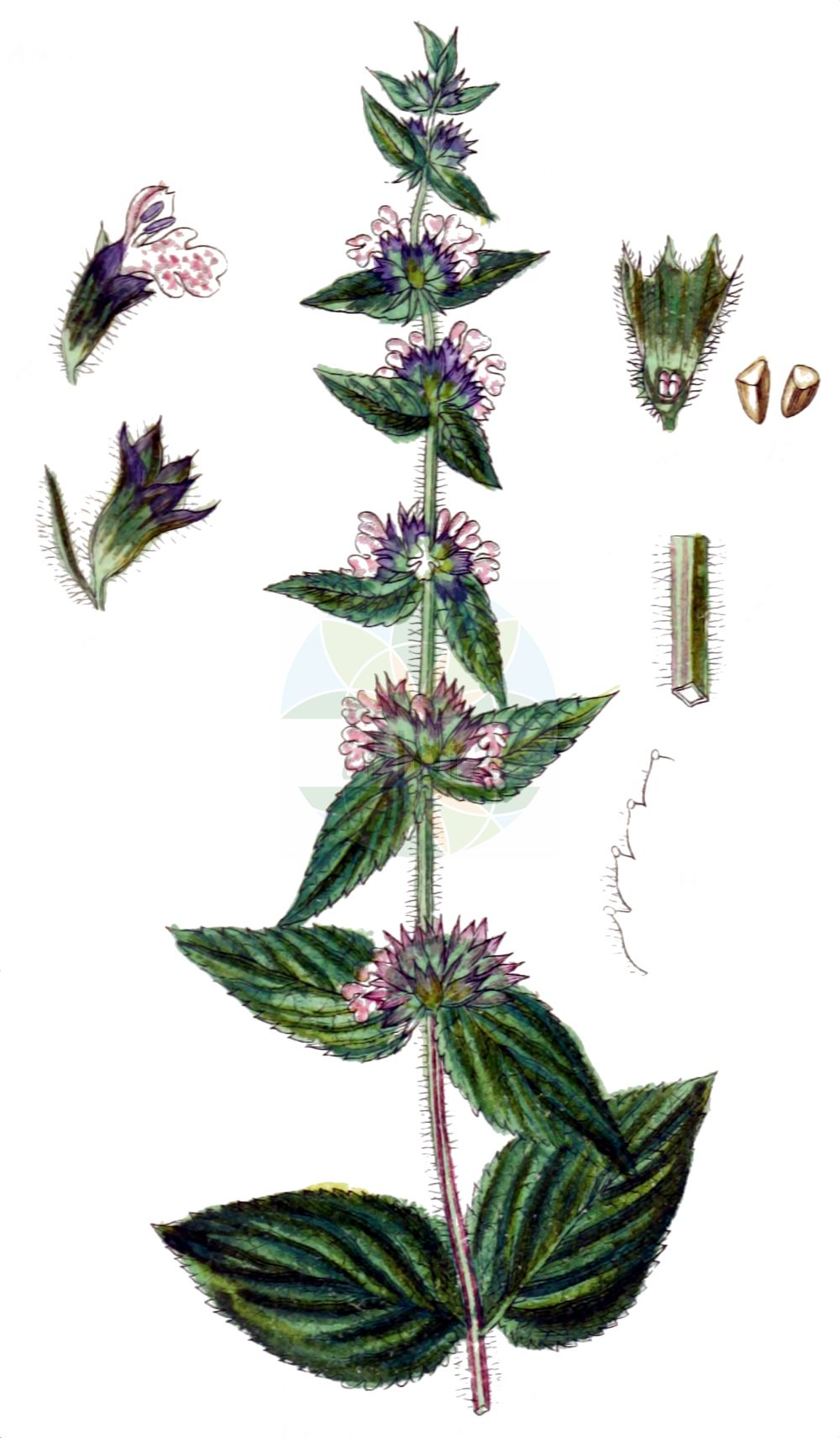 Historische Abbildung von Stachys alpina (Alpen-Ziest - Limestone Woundwort). Das Bild zeigt Blatt, Bluete, Frucht und Same. ---- Historical Drawing of Stachys alpina (Alpen-Ziest - Limestone Woundwort).The image is showing leaf, flower, fruit and seed.(Stachys alpina,Alpen-Ziest,Limestone Woundwort,Eriostomum alpinum,Stachys alpina,Alpen-Ziest,Limestone Woundwort,Alpine Stachys,Alpine Woundwort,Stachys,Ziest,Hedgenettle,Lamiaceae,Lippenbluetengewaechse,Lippenbluetler,Nettle family,Blatt,Bluete,Frucht,Same,leaf,flower,fruit,seed,Sturm (1796f))