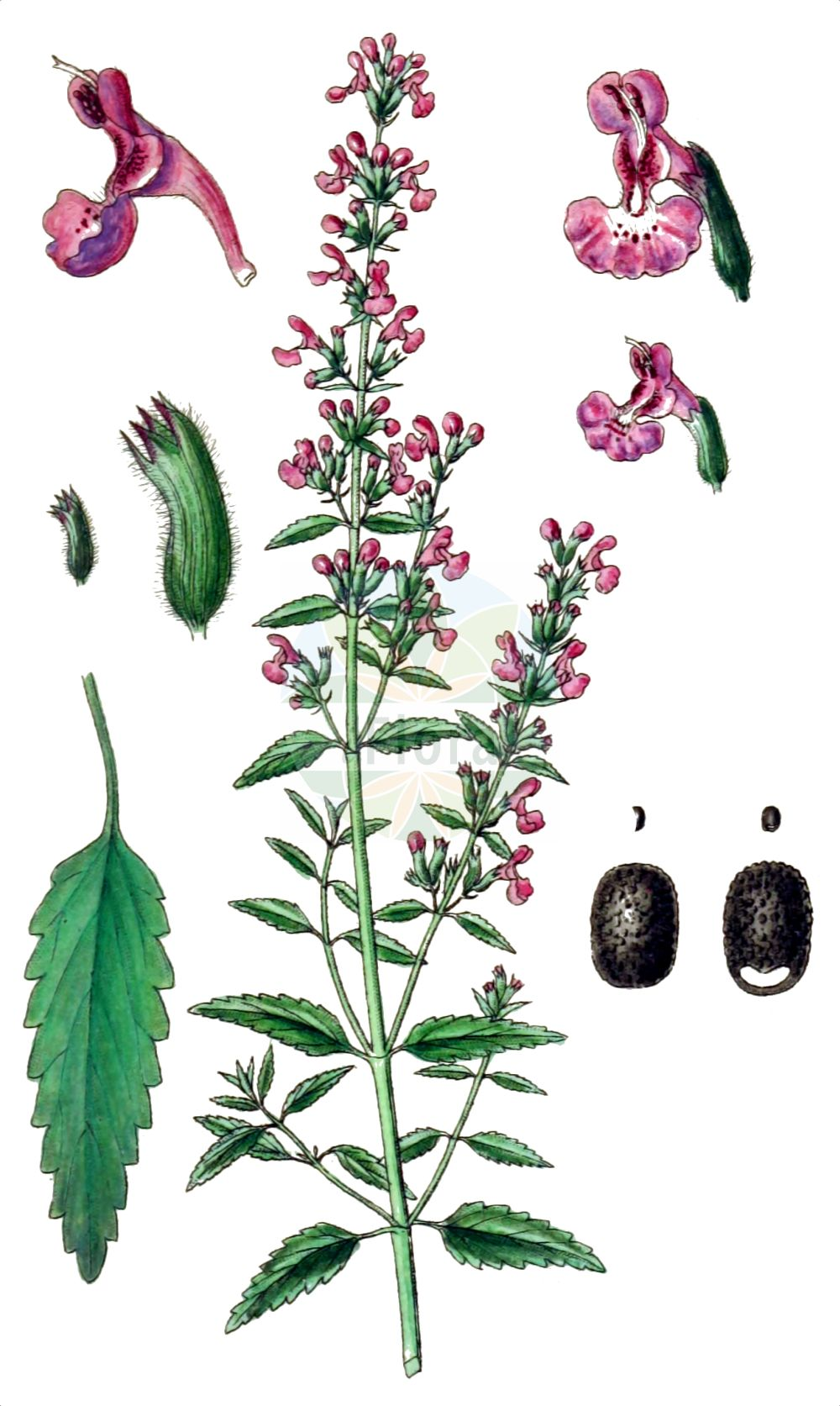Historische Abbildung von Nepeta nepetella. Das Bild zeigt Blatt, Bluete, Frucht und Same. ---- Historical Drawing of Nepeta nepetella.The image is showing leaf, flower, fruit and seed.(Nepeta nepetella,Cataria nepetella,Glechoma nepetella,Nepeta nepetella,Nepeta,Katzenminze,Catnip,Lamiaceae,Lippenbluetengewaechse,Lippenbluetler,Nettle family,Blatt,Bluete,Frucht,Same,leaf,flower,fruit,seed,Sturm (1796f))