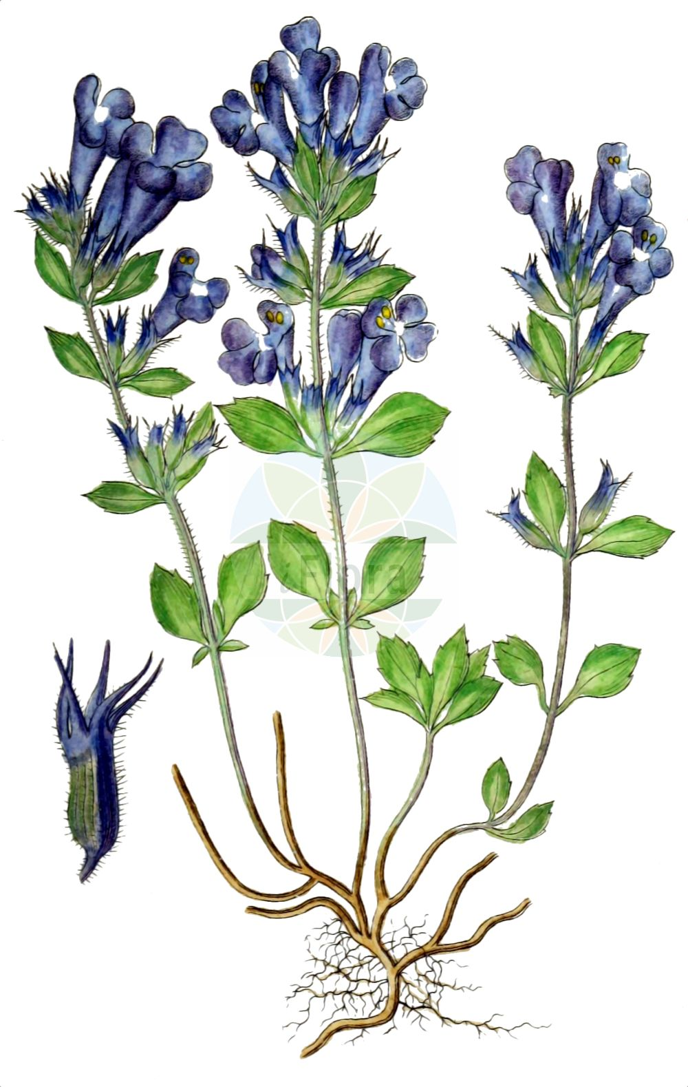 Historische Abbildung von Clinopodium alpinum (Alpen-Steinquendel - Alpine Calamint). Das Bild zeigt Blatt, Bluete, Frucht und Same. ---- Historical Drawing of Clinopodium alpinum (Alpen-Steinquendel - Alpine Calamint).The image is showing leaf, flower, fruit and seed.(Clinopodium alpinum,Alpen-Steinquendel,Alpine Calamint,Clinopodium alpinum,Faucibarba alpina,Melissa alpina,Satureja alpina,Thymus alpinus,Alpen-Steinquendel,Alpenquendel,Alpine Calamint,Rock Thyme,Clinopodium,Wirbeldost,Calamint,Lamiaceae,Lippenbluetengewaechse,Lippenbluetler,Nettle family,Blatt,Bluete,Frucht,Same,leaf,flower,fruit,seed,Sturm (1796f))