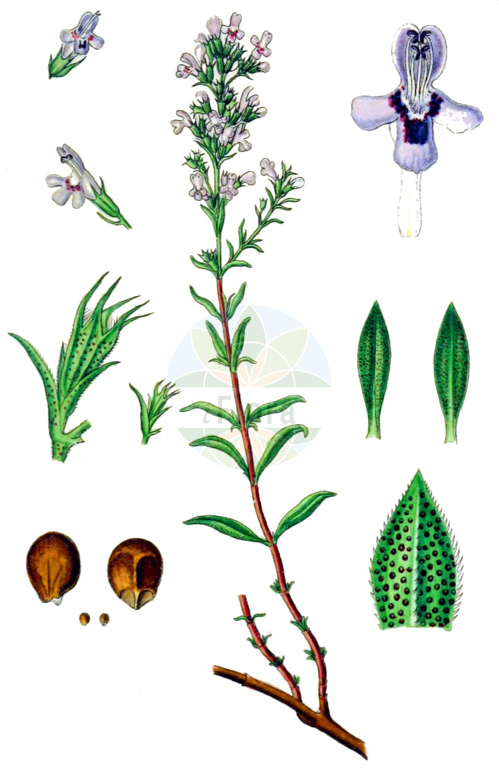 Historische Abbildung von Satureja montana (Winter-Bohnenkraut - Winter Savory). Das Bild zeigt Blatt, Bluete, Frucht und Same. ---- Historical Drawing of Satureja montana (Winter-Bohnenkraut - Winter Savory).The image is showing leaf, flower, fruit and seed.(Satureja montana,Winter-Bohnenkraut,Winter Savory,Clinopodium montanum,Micromeria montana,Satureja montana,Saturiastrum montanum,Winter-Bohnenkraut,Winter-Bohnenkraut,Winter Savory,Mountain Savory,Perennial Savory,Satureja,Bohnenkraut,Savory,Lamiaceae,Lippenbluetengewaechse,Lippenbluetler,Nettle family,Blatt,Bluete,Frucht,Same,leaf,flower,fruit,seed,Sturm (1796f))