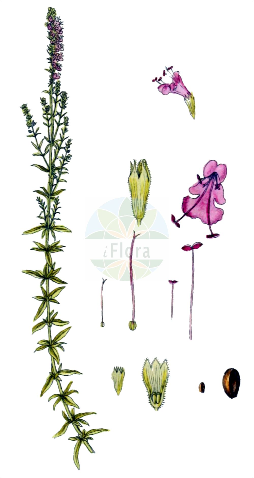Historische Abbildung von Hyssopus officinalis (Echter Ysop - Hyssop). Das Bild zeigt Blatt, Bluete, Frucht und Same. ---- Historical Drawing of Hyssopus officinalis (Echter Ysop - Hyssop).The image is showing leaf, flower, fruit and seed.(Hyssopus officinalis,Echter Ysop,Hyssop,Hyssopus officinalis,Thymus hyssopus,Echter Ysop,Gewoehnlicher Ysop,Hyssop,Hyssopus,Ysop,Hyssop,Lamiaceae,Lippenbluetengewaechse,Lippenbluetler,Nettle family,Blatt,Bluete,Frucht,Same,leaf,flower,fruit,seed,Sturm (1796f))