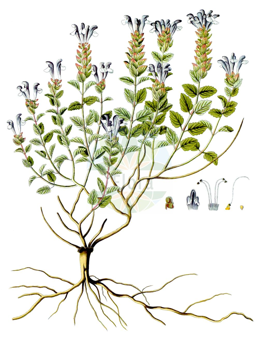 Historische Abbildung von Scutellaria alpina. Das Bild zeigt Blatt, Bluete, Frucht und Same. ---- Historical Drawing of Scutellaria alpina.The image is showing leaf, flower, fruit and seed.(Scutellaria alpina,Cassida alpina,Scutellaria alpina,Scutellaria compressa,Scutellaria jabalambrensis,Scutellaria lupulina,Scutellaria variegata,Scutellaria viscida,Scutellaria,Helmkraut,Skullcap,Lamiaceae,Lippenbluetengewaechse,Lippenbluetler,Nettle family,Blatt,Bluete,Frucht,Same,leaf,flower,fruit,seed,Waldstein-Wartenberg & Kitaibel (1799-1812))