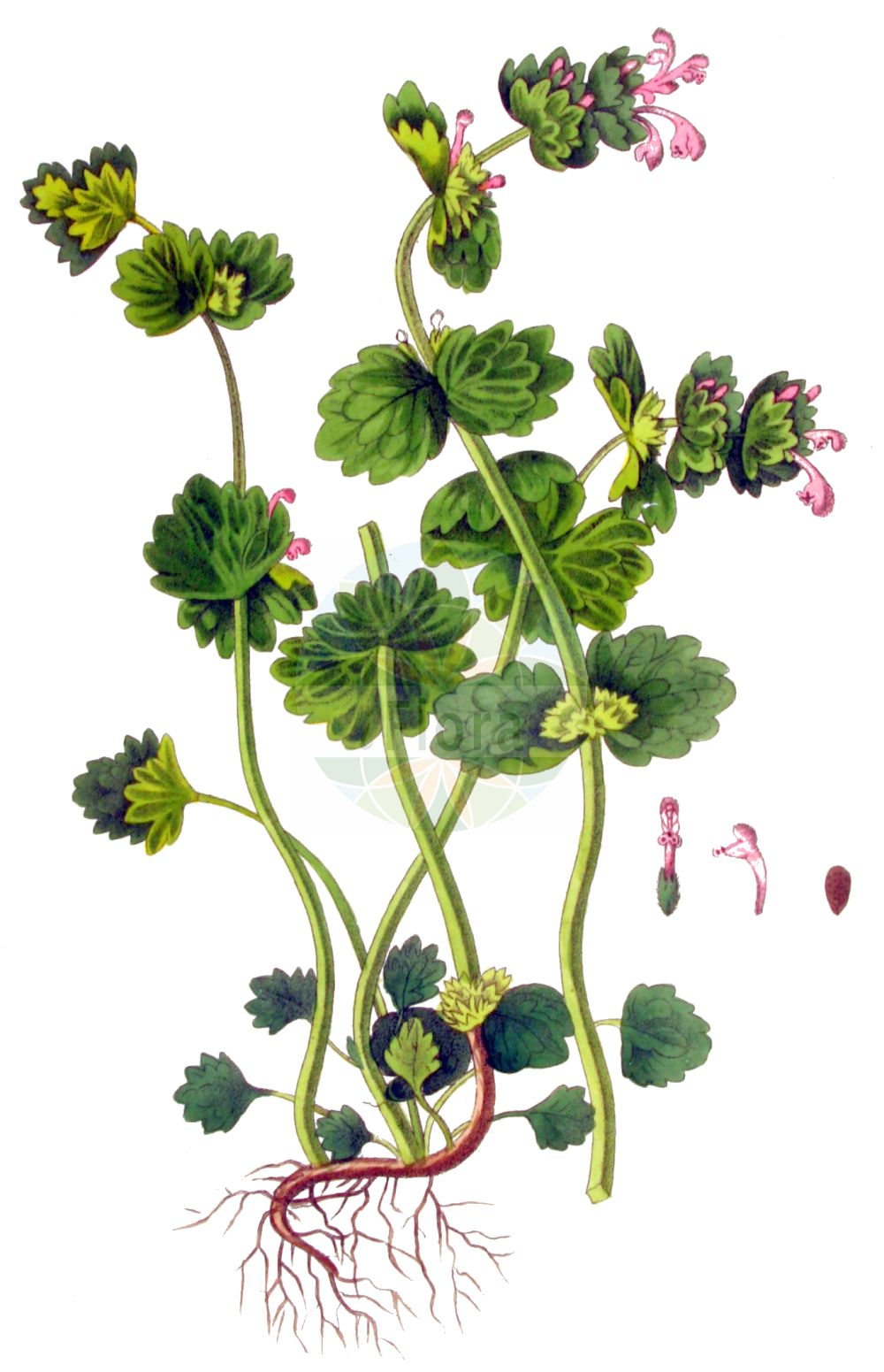 Historische Abbildung von Lamium amplexicaule (Staengelumfassende Taubnessel - Henbit Dead-nettle). Das Bild zeigt Blatt, Bluete, Frucht und Same. ---- Historical Drawing of Lamium amplexicaule (Staengelumfassende Taubnessel - Henbit Dead-nettle).The image is showing leaf, flower, fruit and seed.(Lamium amplexicaule,Staengelumfassende Taubnessel,Henbit Dead-nettle,Galeobdolon amplexicaule,Lamiella amplexicaulis,Lamiopsis amplexicaulis,Lamium amplexicaule,Pollichia amplexicaulis,Staengelumfassende Taubnessel,Stengelumfassende Taubnessel,Henbit Dead-nettle,Common Deadnettle,Common Henbit,Henbit,Lamium,Taubnessel,Deadnettle,Lamiaceae,Lippenbluetengewaechse,Lippenbluetler,Nettle family,Blatt,Bluete,Frucht,Same,leaf,flower,fruit,seed,Kops (1800-1934))
