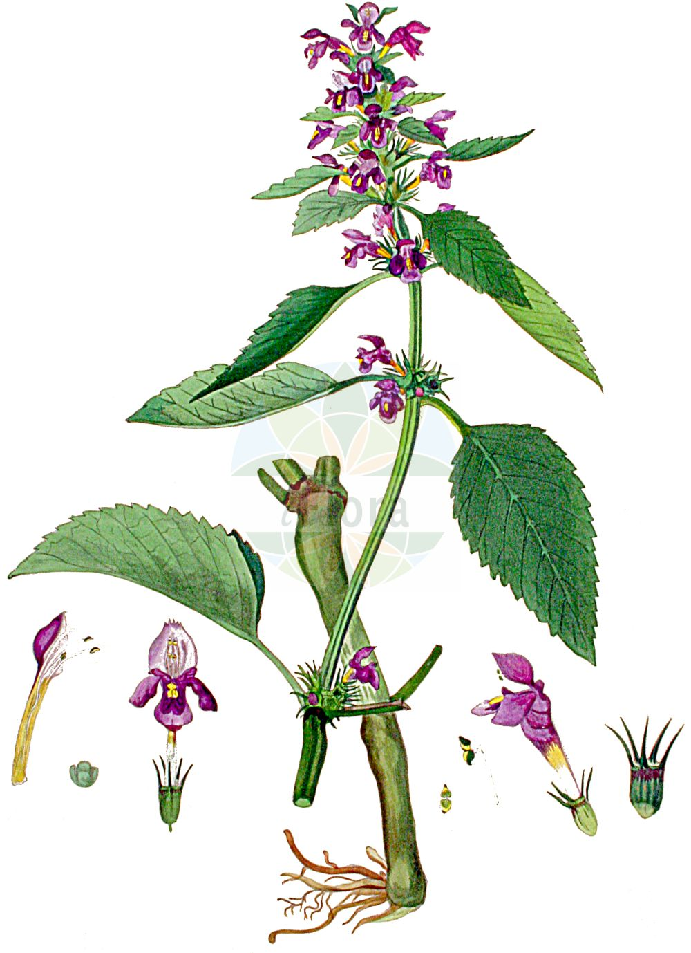 Historische Abbildung von Galeopsis pubescens (Weichhaariger Hohlzahn - Downy Hemp-nettle). Das Bild zeigt Blatt, Bluete, Frucht und Same. ---- Historical Drawing of Galeopsis pubescens (Weichhaariger Hohlzahn - Downy Hemp-nettle).The image is showing leaf, flower, fruit and seed.(Galeopsis pubescens,Weichhaariger Hohlzahn,Downy Hemp-nettle,Galeopsis murriana,Galeopsis pubescens,Galeopsis subspeciosa,Galeopsis variegata,Galeopsis walteriana,Weichhaariger Hohlzahn,Flaum-Hohlzahn,Downy Hemp-nettle,Hairy Hemp-nettle,Galeopsis,Hohlzahn,Hempnettle,Lamiaceae,Lippenbluetengewaechse,Lippenbluetler,Nettle family,Blatt,Bluete,Frucht,Same,leaf,flower,fruit,seed,Kops (1800-1934))
