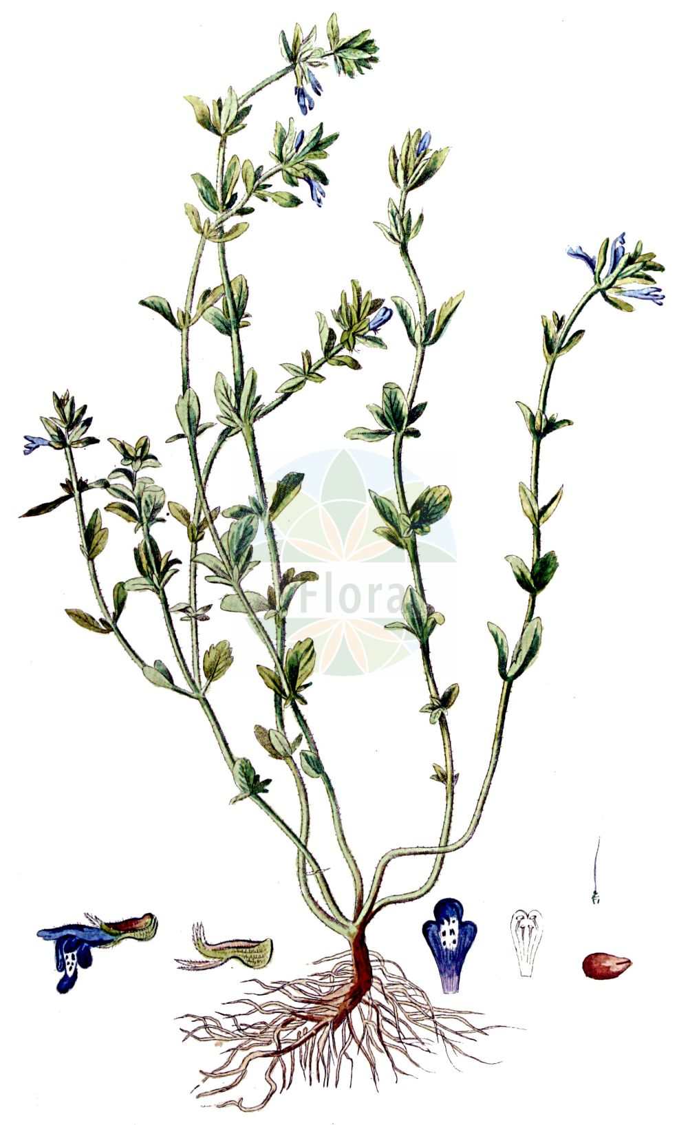Historische Abbildung von Clinopodium acinos (Feld-Steinquendel - Basil Thyme). Das Bild zeigt Blatt, Bluete, Frucht und Same. ---- Historical Drawing of Clinopodium acinos (Feld-Steinquendel - Basil Thyme).The image is showing leaf, flower, fruit and seed.(Clinopodium acinos,Feld-Steinquendel,Basil Thyme,Acinos acinos,Acinos acuminatus,Acinos arvensis,Acinos clinopodiifacie,Acinos eglandulosus,Acinos inflectus,Acinos schizodontus,Acinos subcrispus,Acinos thymoides,Acinos villosus,Calamintha acinos,Calamintha heterophylla,Calamintha villosa,Clinopodium acinos,Faucibarba acinos,Melissa acinos,Melissa arvensis,Satureja acinos,Thymus acinos,Thymus arvensis,Thymus canescens,Thymus concinnus,Thymus gibbosus,Feld-Steinquendel,Gewoehnlicher Steinquendel,Stein-Bergminze,Basil Thyme,Mother-of-Thyme,Clinopodium,Wirbeldost,Calamint,Lamiaceae,Lippenbluetengewaechse,Lippenbluetler,Nettle family,Blatt,Bluete,Frucht,Same,leaf,flower,fruit,seed,Kops (1800-1934))